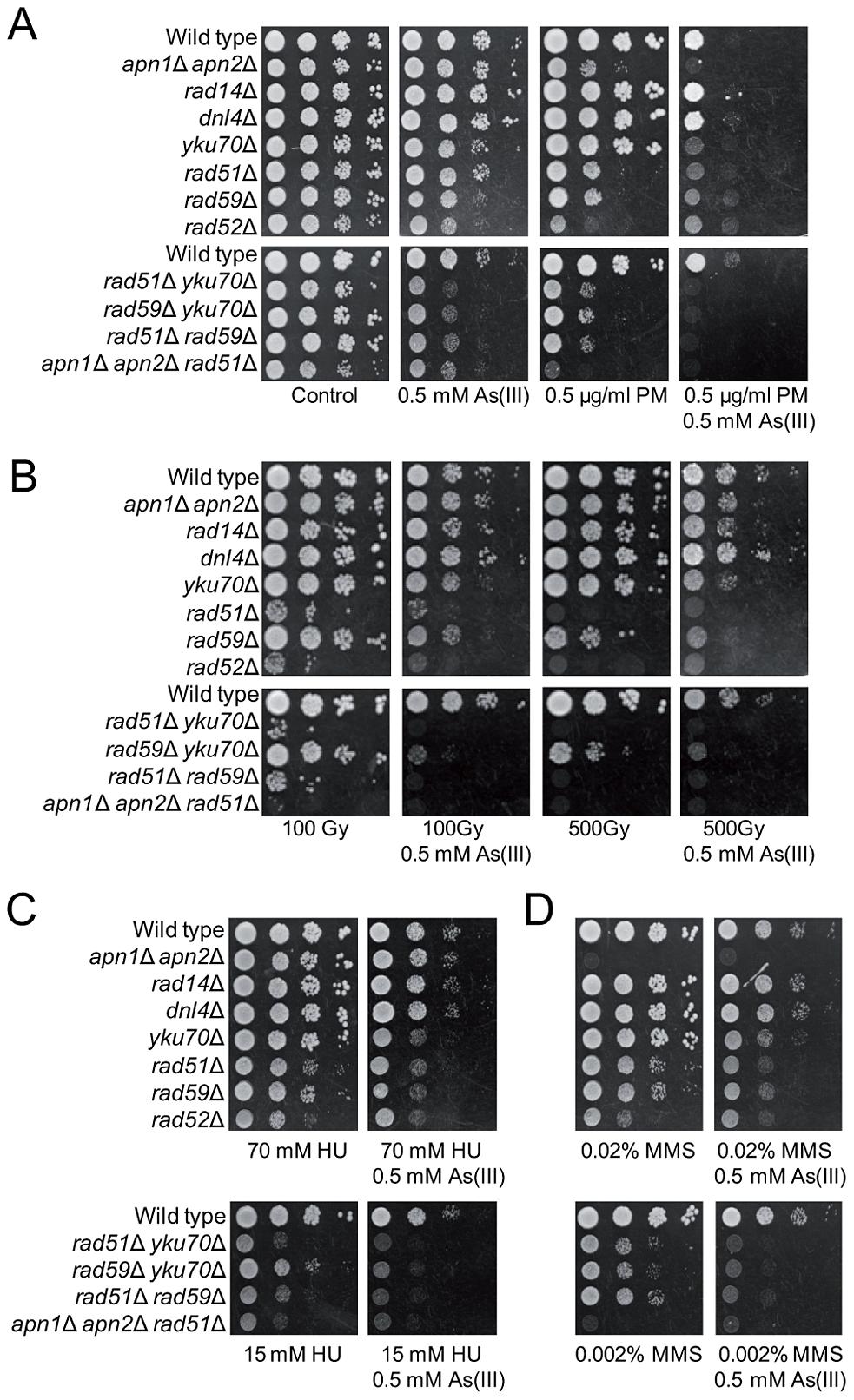 As(III) enhances cytotoxicity of phleomycin.