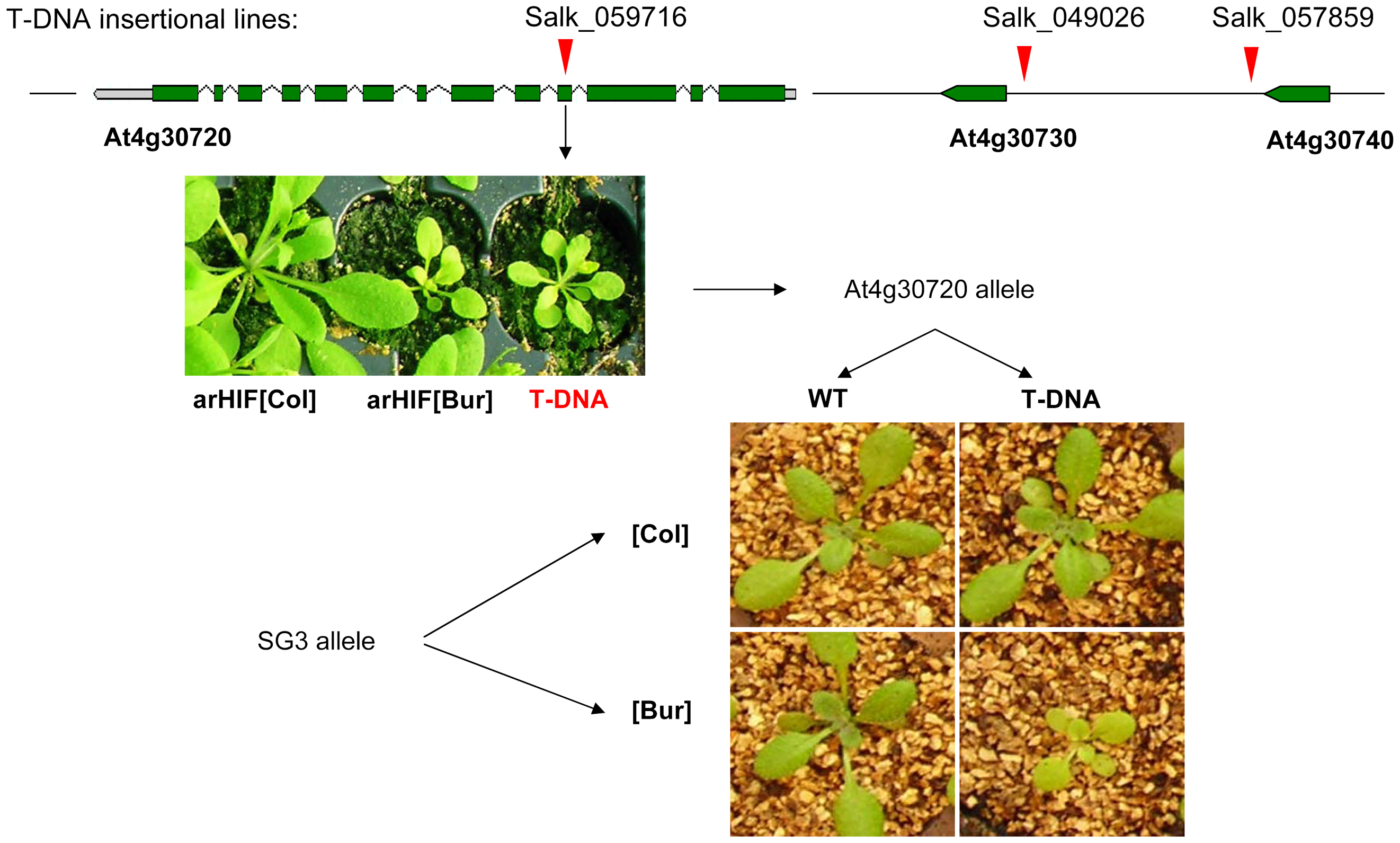 Quantitative complementation of an At4g30720 T–DNA allele.