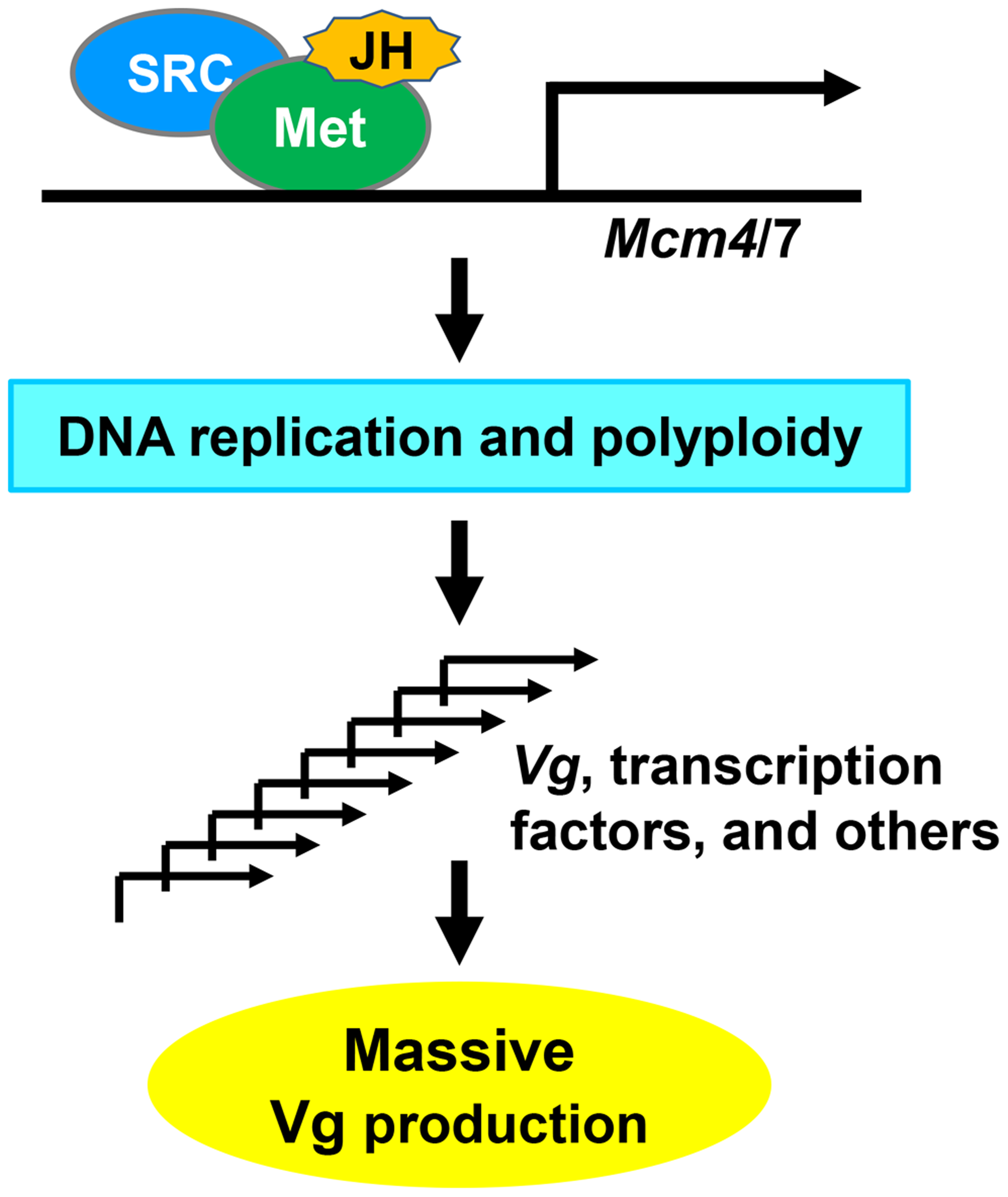 A proposed model for locust Vg synthesis regulated by the JH-receptor complex acting on <i>Mcm4</i> and <i>Mcm7</i>.