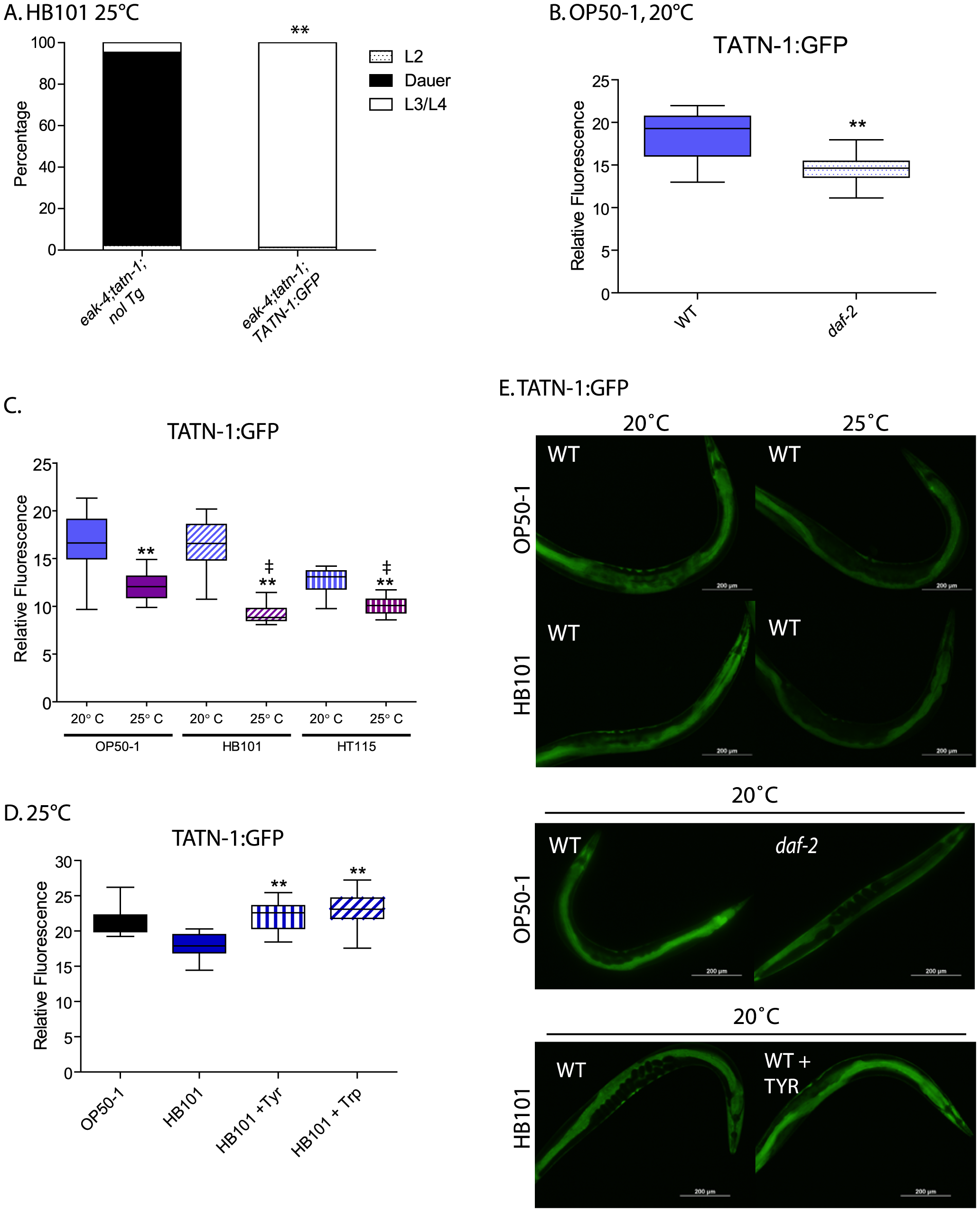 Control of TATN-1 protein expression by <i>daf-2</i>/IGFR signaling, diet and temperature.