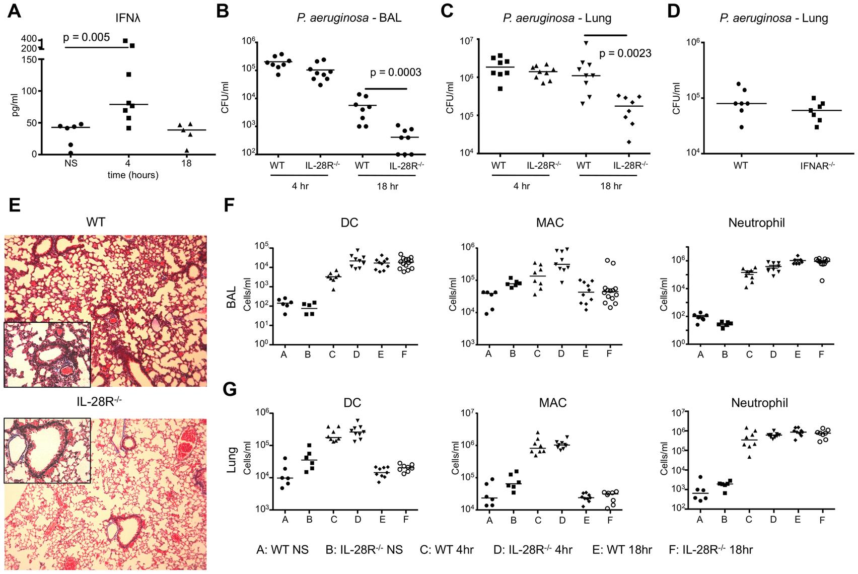 <i>P. aeruginosa</i> induction of IFNλ signaling inhibits bacterial clearance.