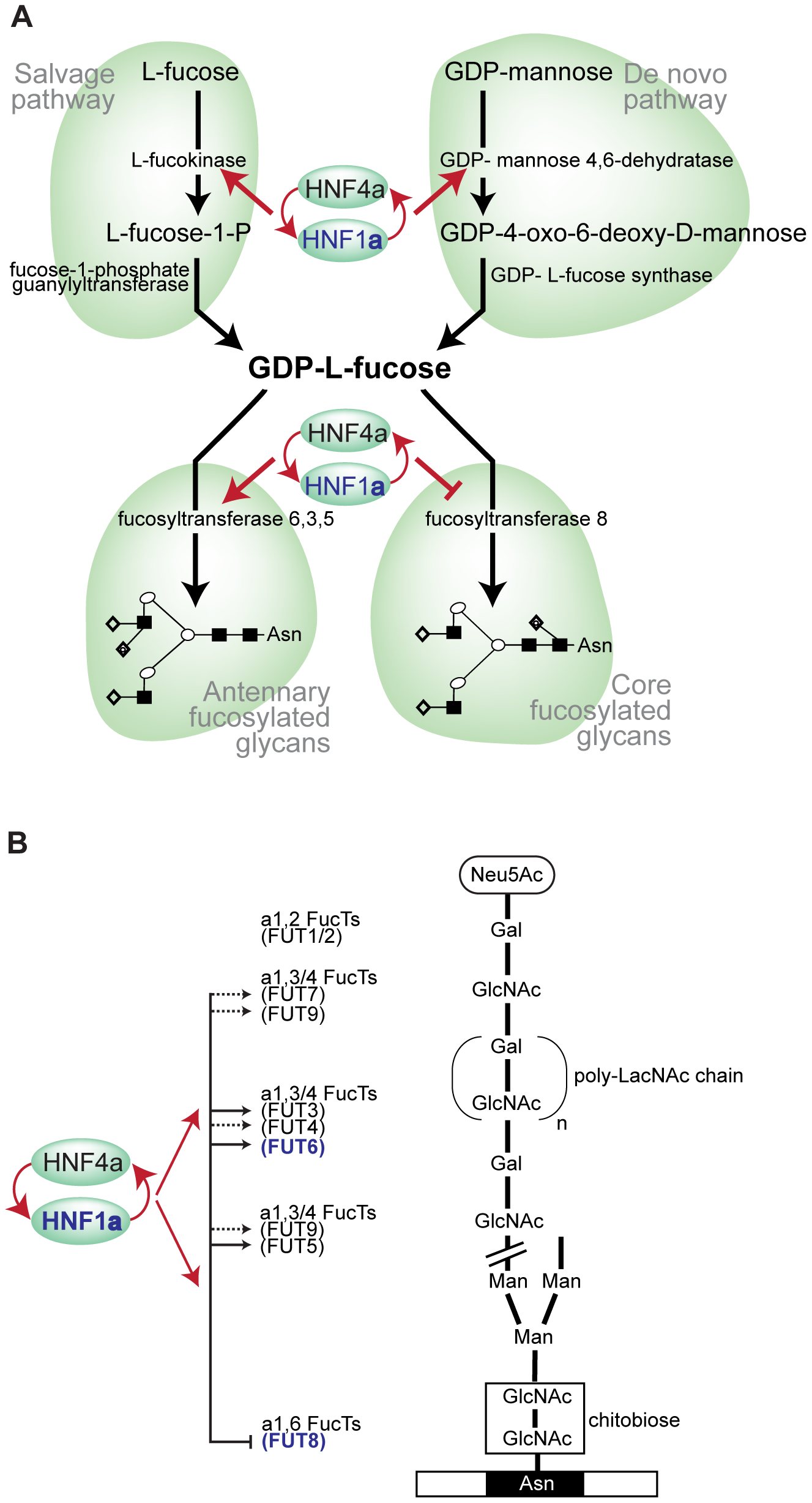 HNF1α is at the heart of fucosylation regulation.