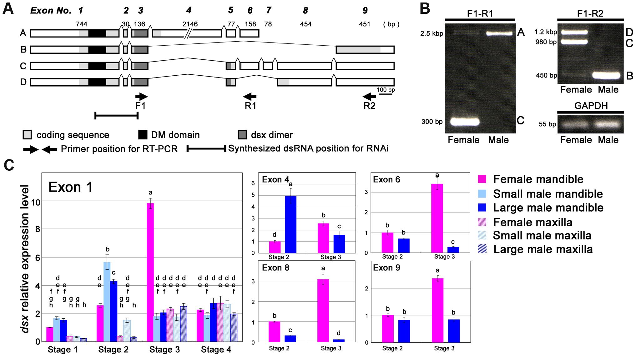 Characterization of the <i>Cyclommatus metallifer dsx</i> transcript.