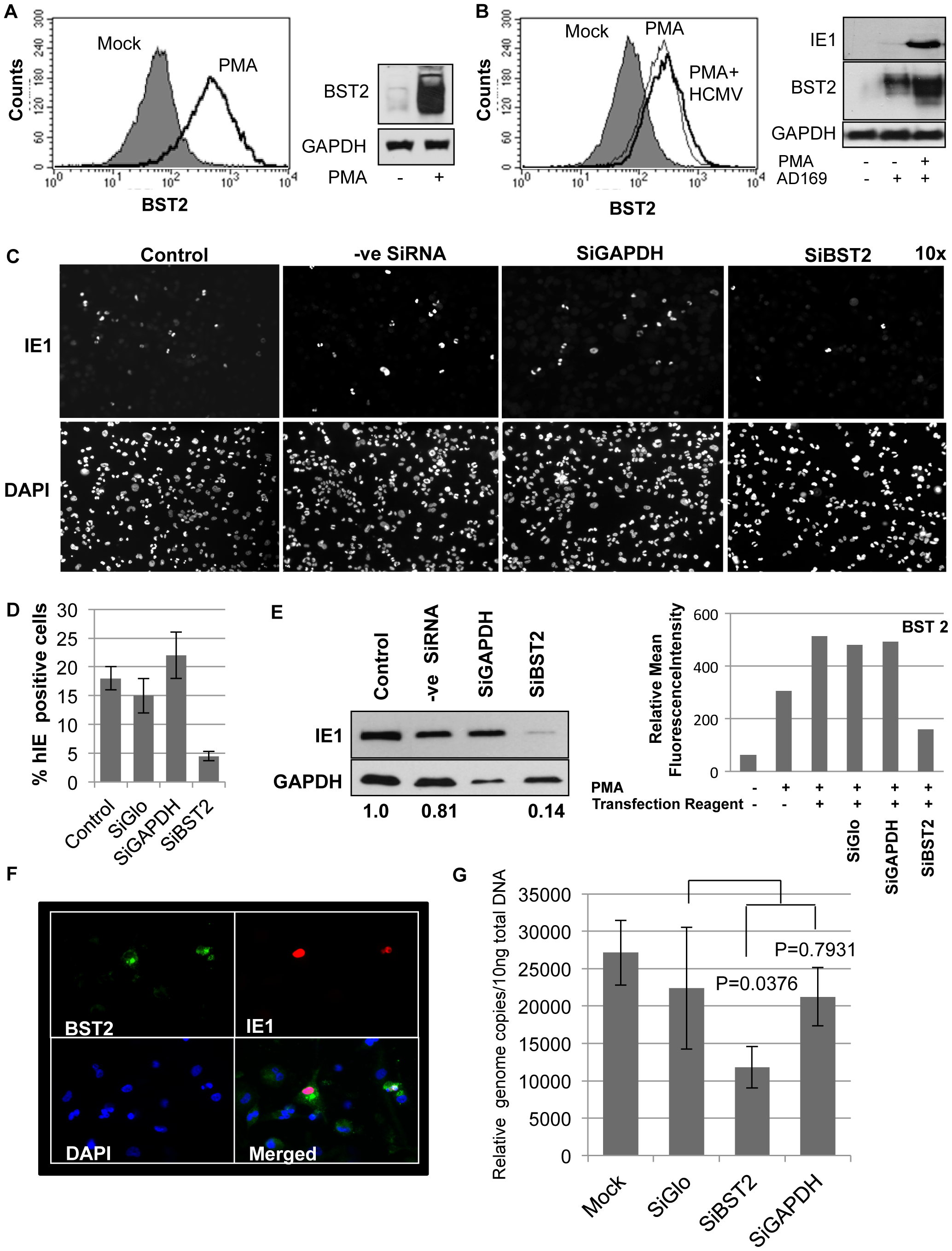 Infection of THP-1 cells with HCMV is BST2-dependent.