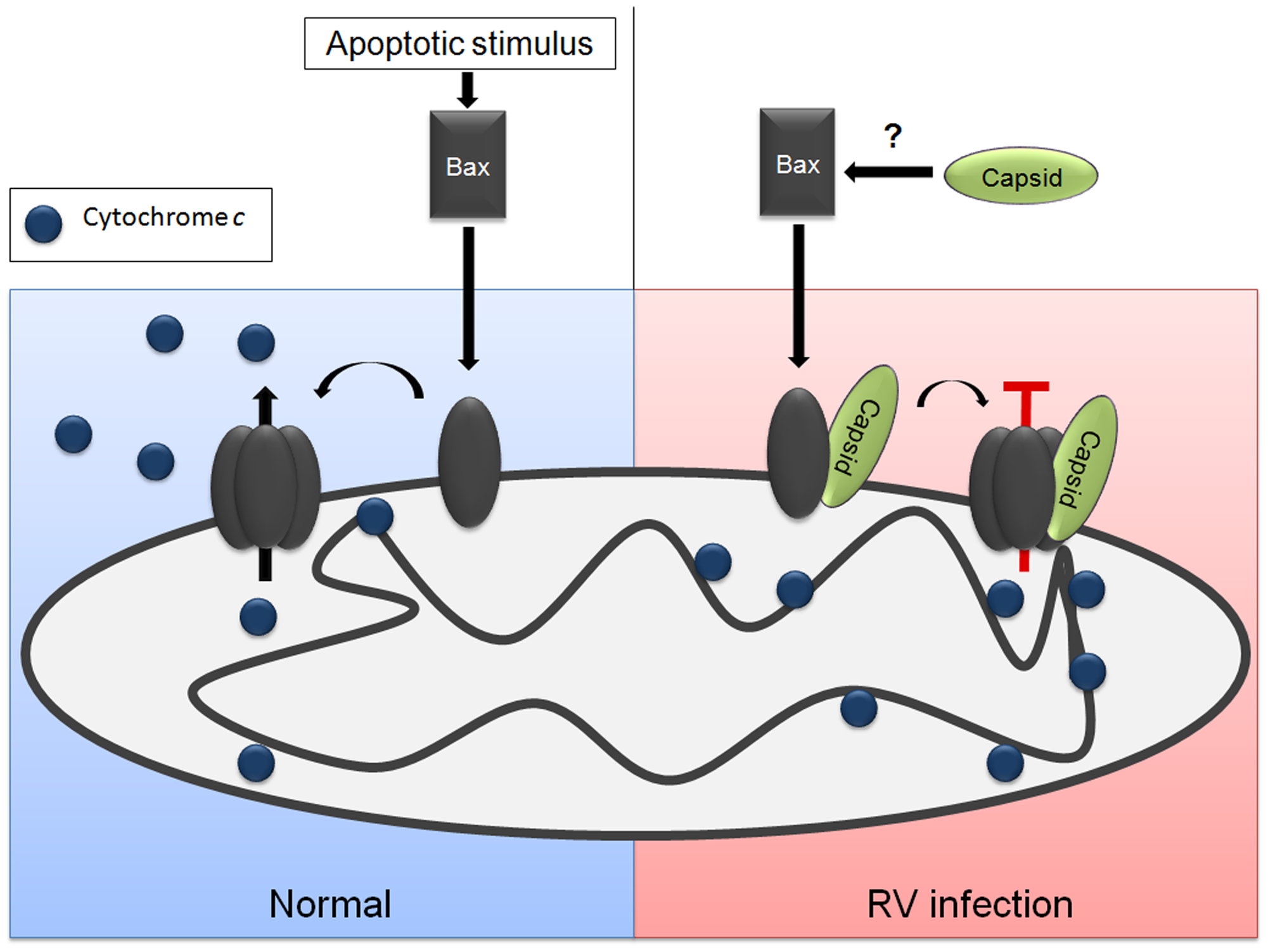 Model for how capsid blocks Bax-dependent apoptosis.