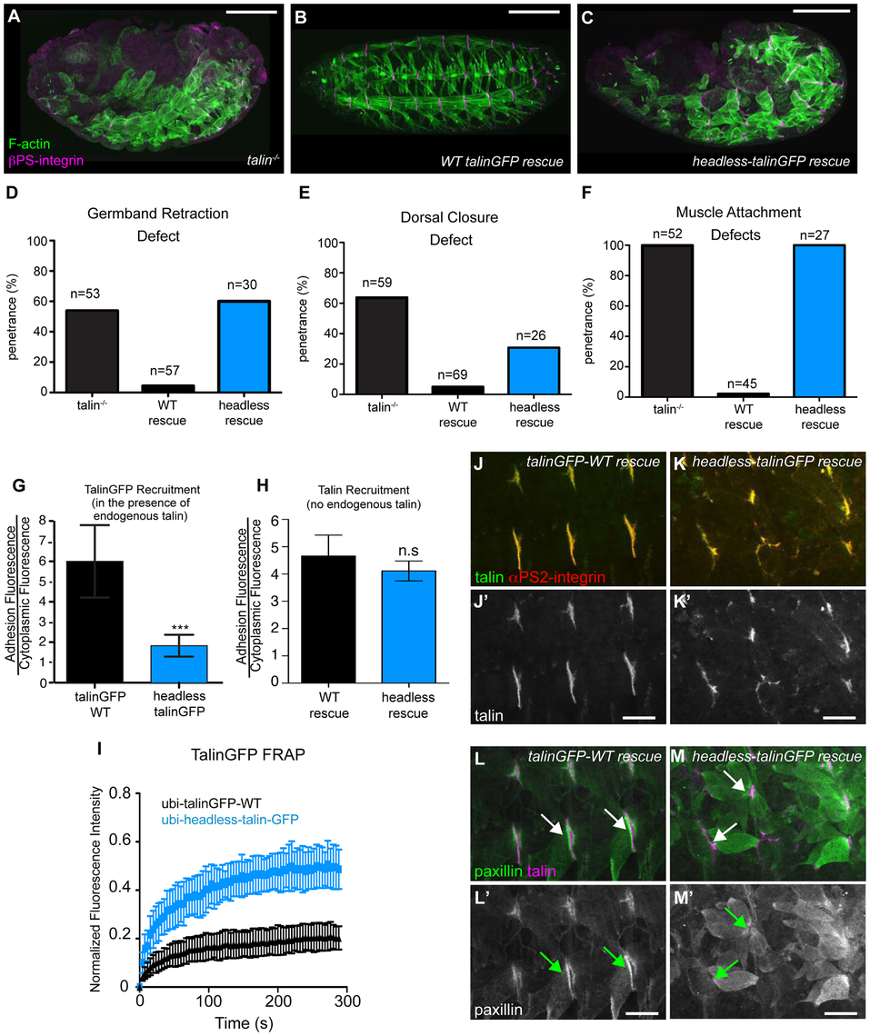 The talin head is essential for integrin function in <i>Drosophila</i>.