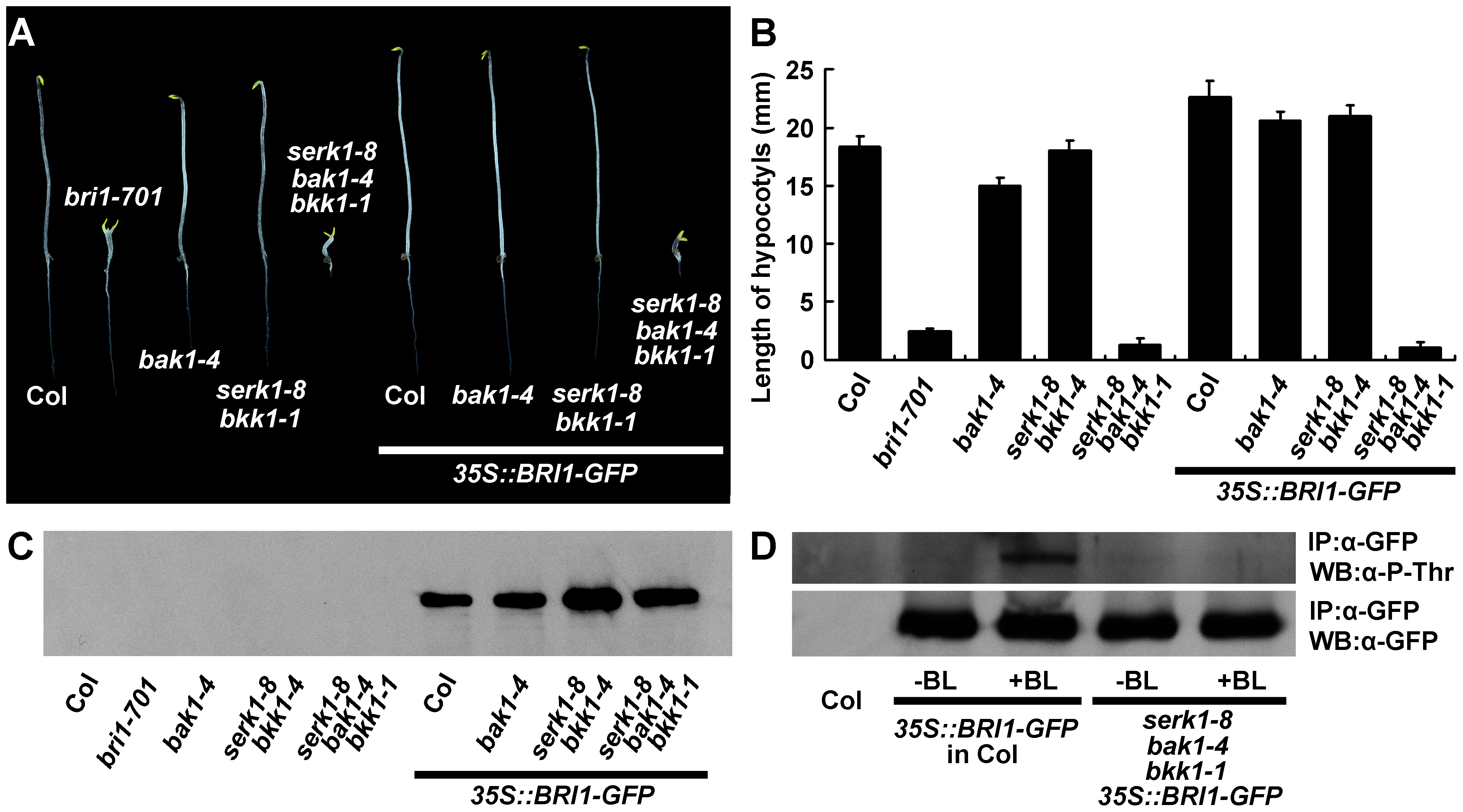 Overexpression of <i>BRI1</i> dramatically increases hypocotyl growth of wild type but does not promote hypocotyl growth of <i>serk1-8 bak1-4 bkk1-1</i>.
