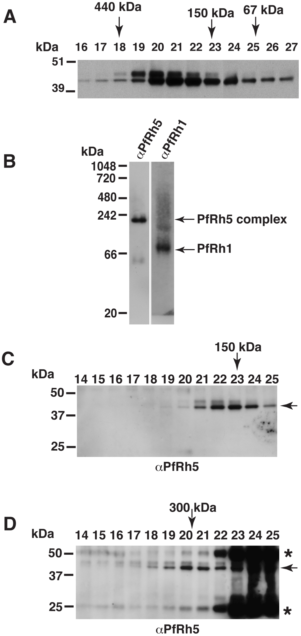 The processed 45 kDa PfRh5 C-terminal domain exists as a larger complex.
