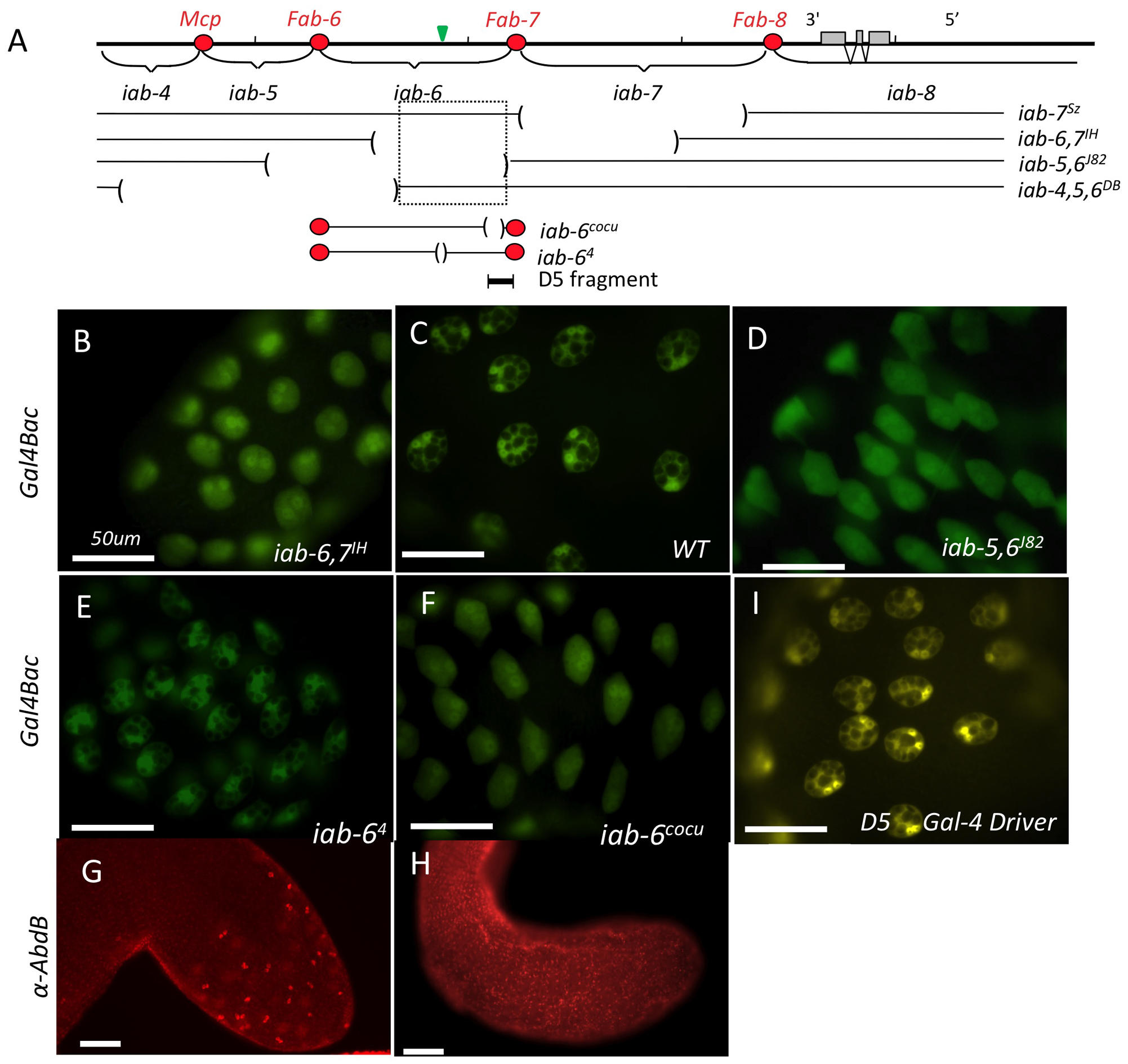 Mutants affecting <i>Abd-B</i> expression in the accessory gland.