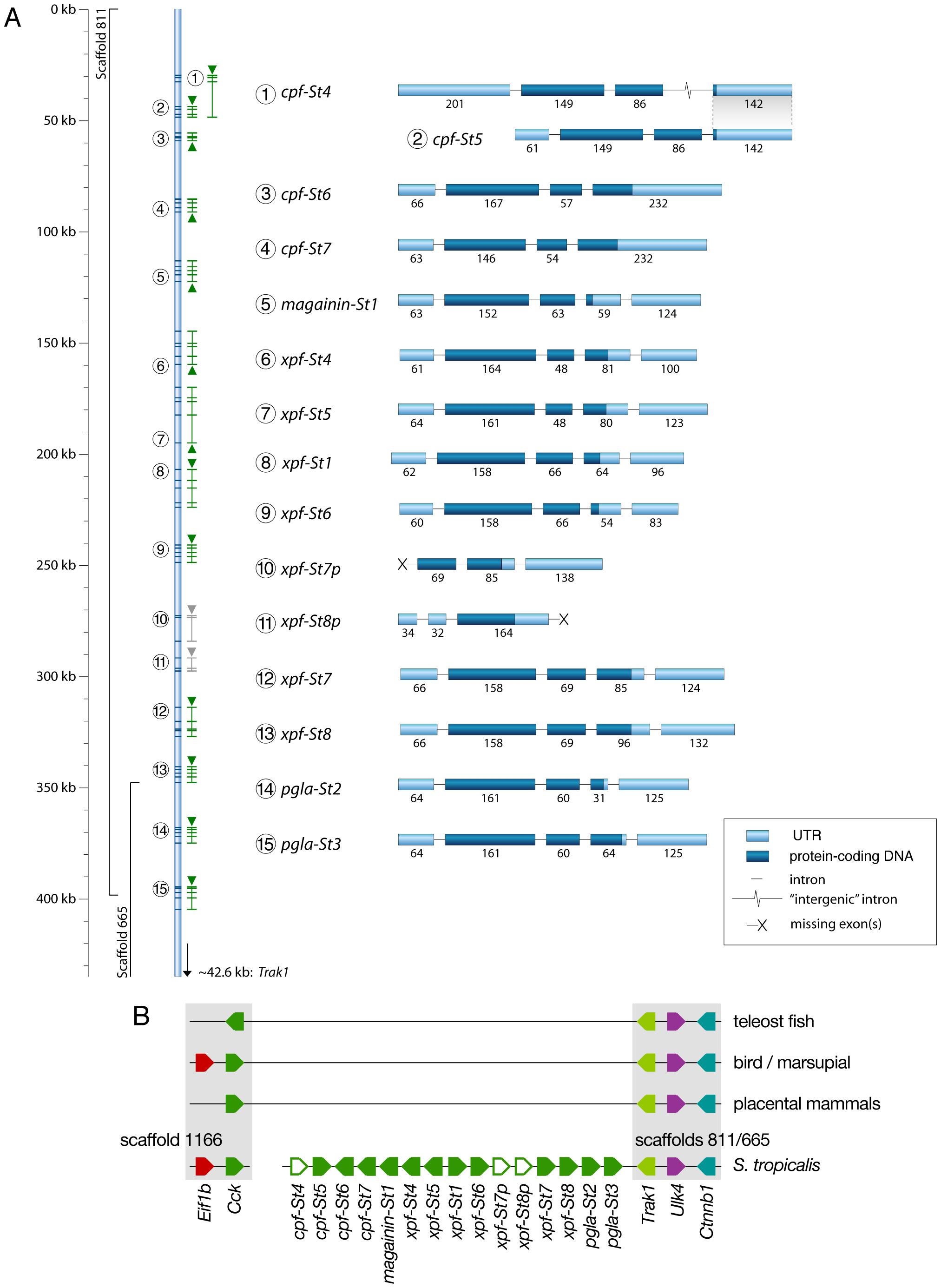 Genomic organization of the <i>Silurana tropicalis</i> AMP gene repertoire.