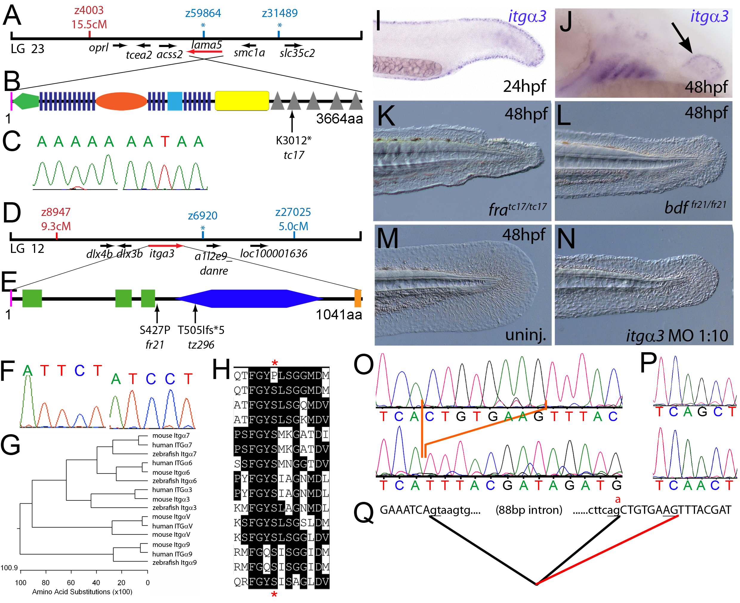 The fin dysmorphogenesis of <i>fransen</i> and <i>badfin</i> mutants are caused by mutations in Lamininα5 and Integrinα3 subunits.