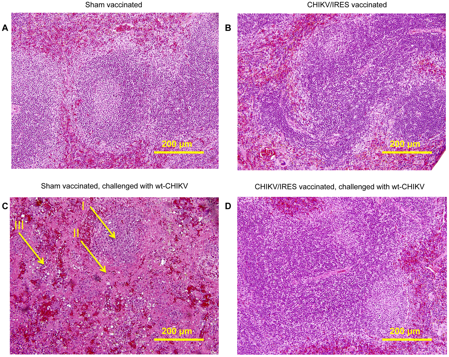 Representative splenic histopathology of A129 mice post-vaccination and –challenge, 20X magnification.