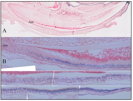 Figure 9.  X-gal Histostaining of Fam83h-knockout/NLS-lacZ-knockin (null) mandibular incisors. A: Sagital section from D9 Fam83h<sup>+/−</sup> mouse. All Ameloblasts are unstained. B: Sagital section from 7-week Fam83h<sup>+/−</sup> mouse. All Ameloblasts are stained positive.