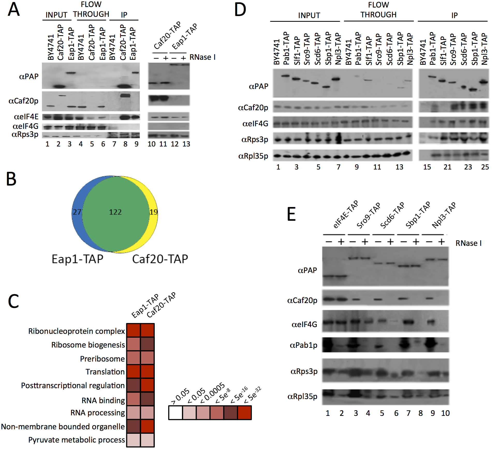 Identification of 4E-BP associating proteins using TAP-tag IPs.