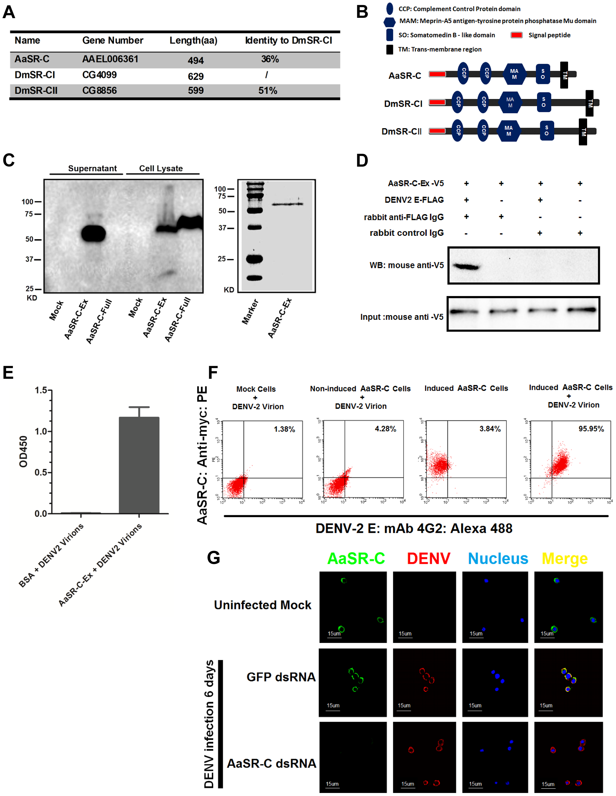 A Scavenger receptor-C with CCP domains recognizes DENV-2 <i>in vitro</i> and <i>in vivo</i>.