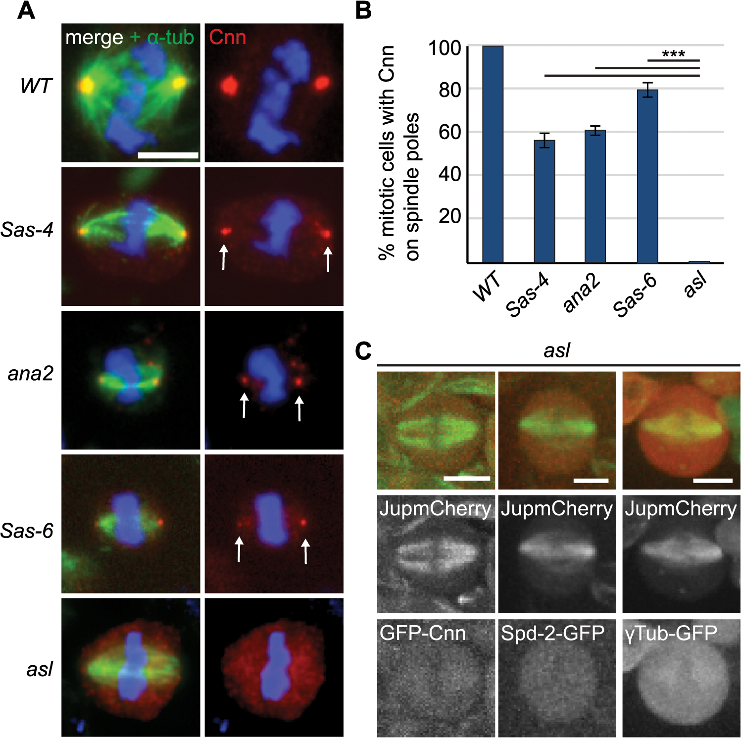 The PCM recruitment factor Asl is essential for aMTOC formation.