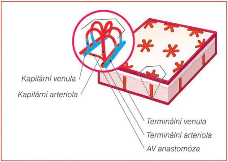 Základní jednotka kožní vaskularizace ve tvaru šestiúhelníku (Modifikovano podle PARSI [14])