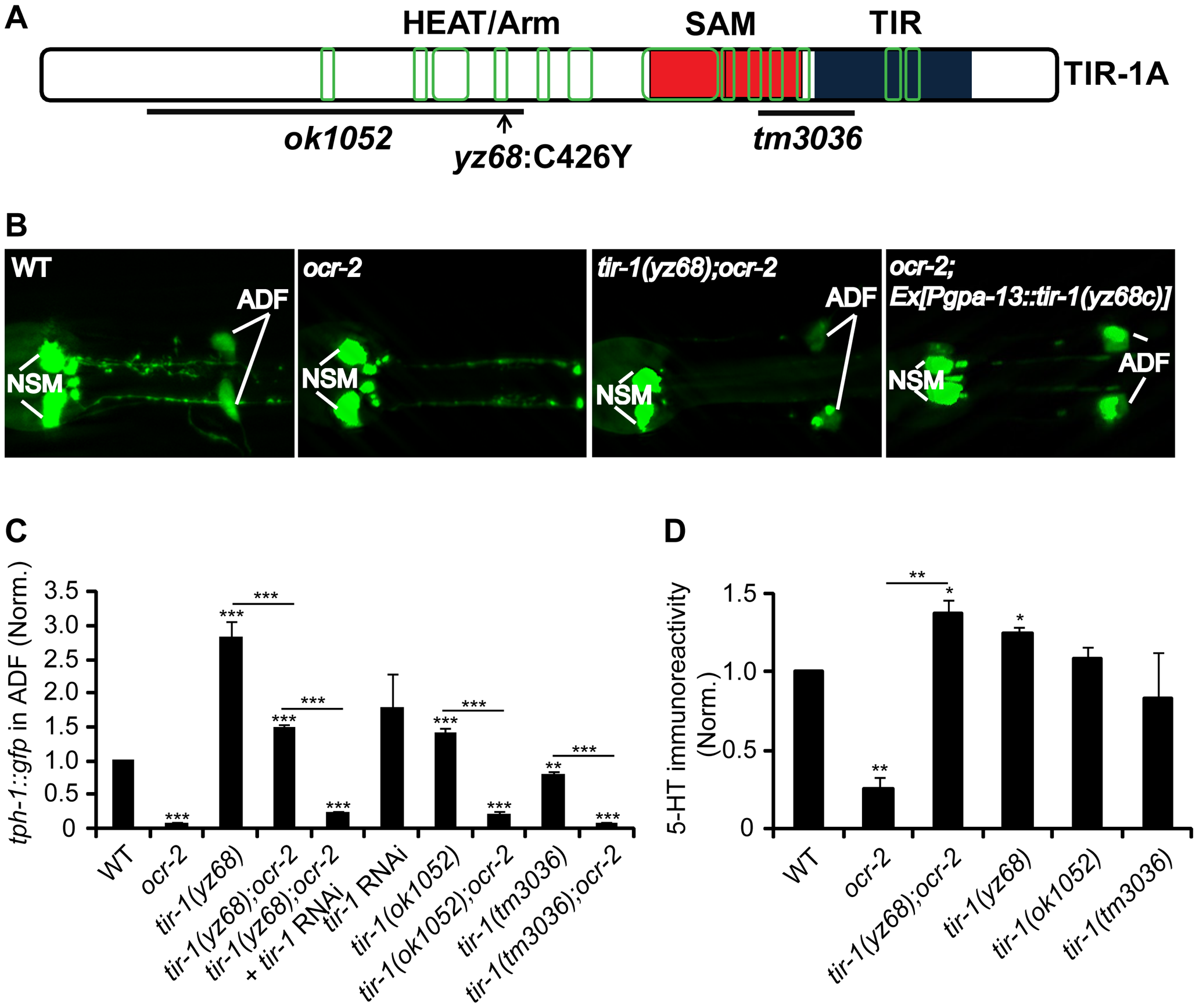 <i>tir-1(yz68gf)</i> mutants constitutively upregulate <i>tph-1::gfp</i> expression in ADF neurons.