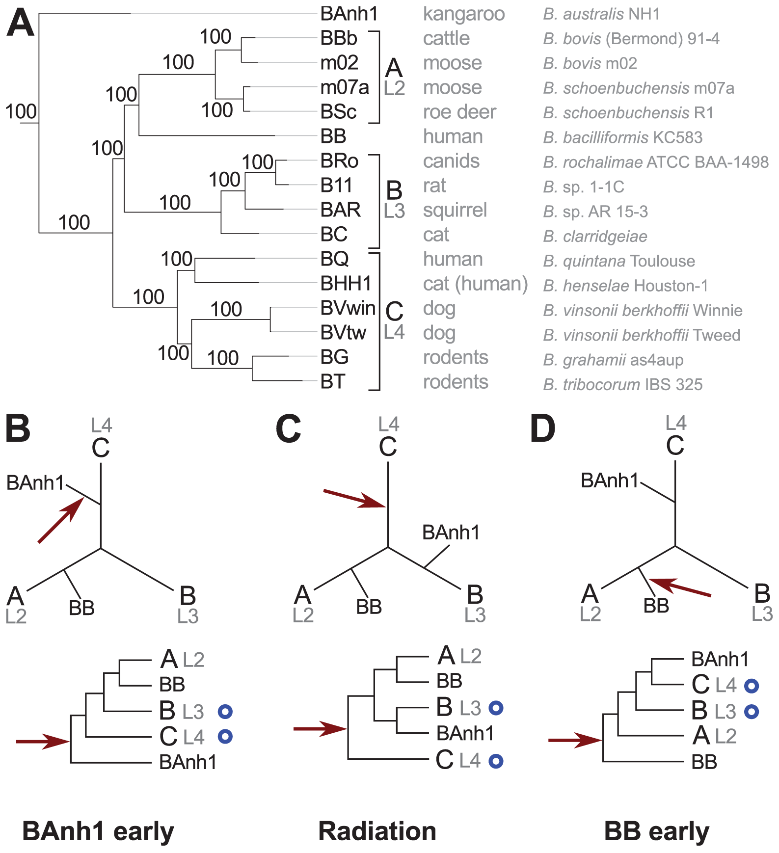 Phylogenetic relationships of the <i>Bartonella</i> species examined in this study.