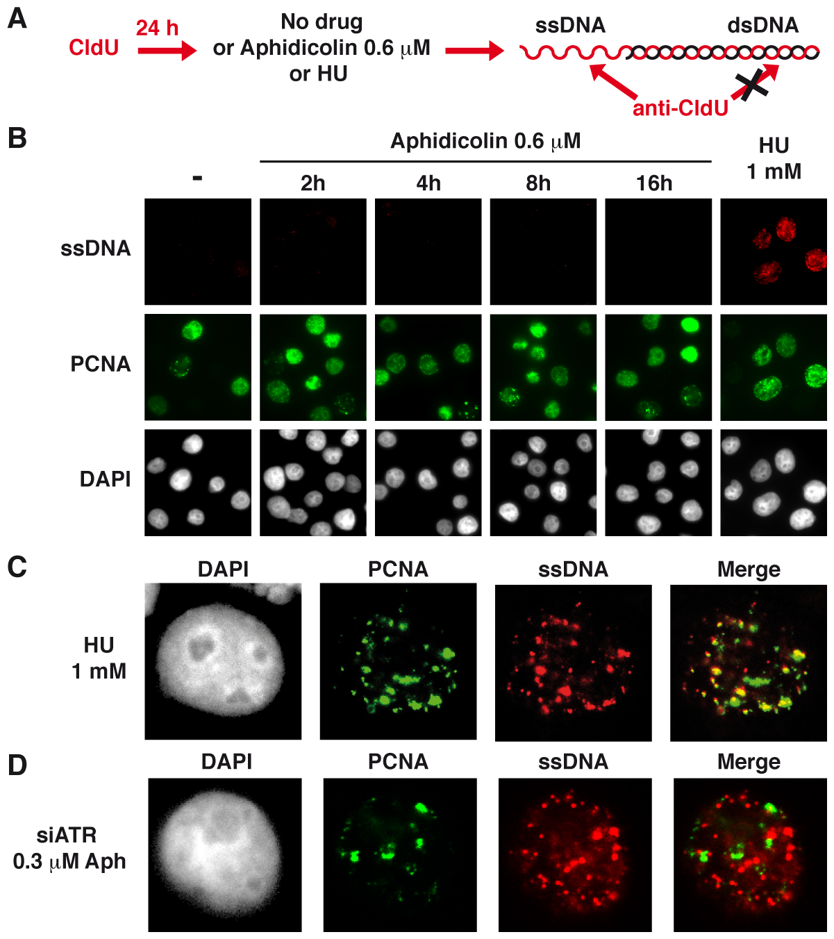 Moderate fork slowing is not associated with formation of ssDNA foci.