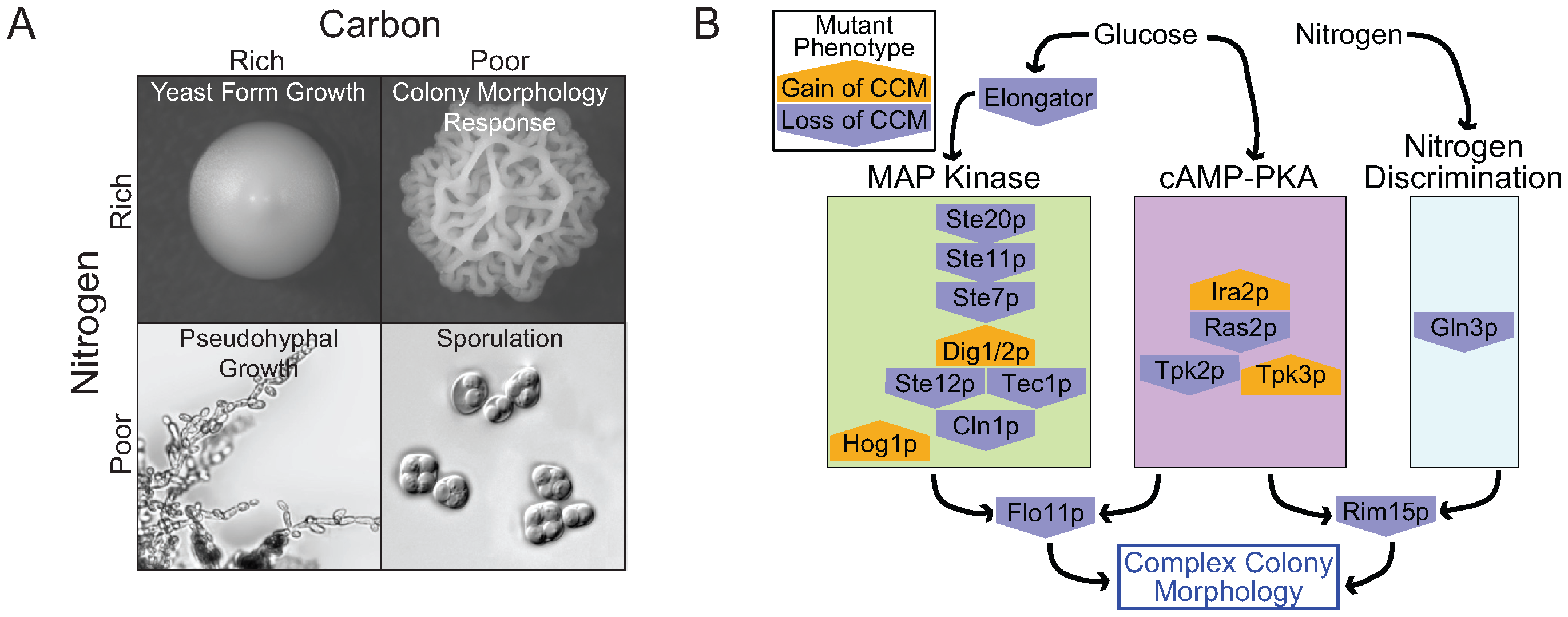 The role of nutrients in complex colony morphology and the underlying genetic network.