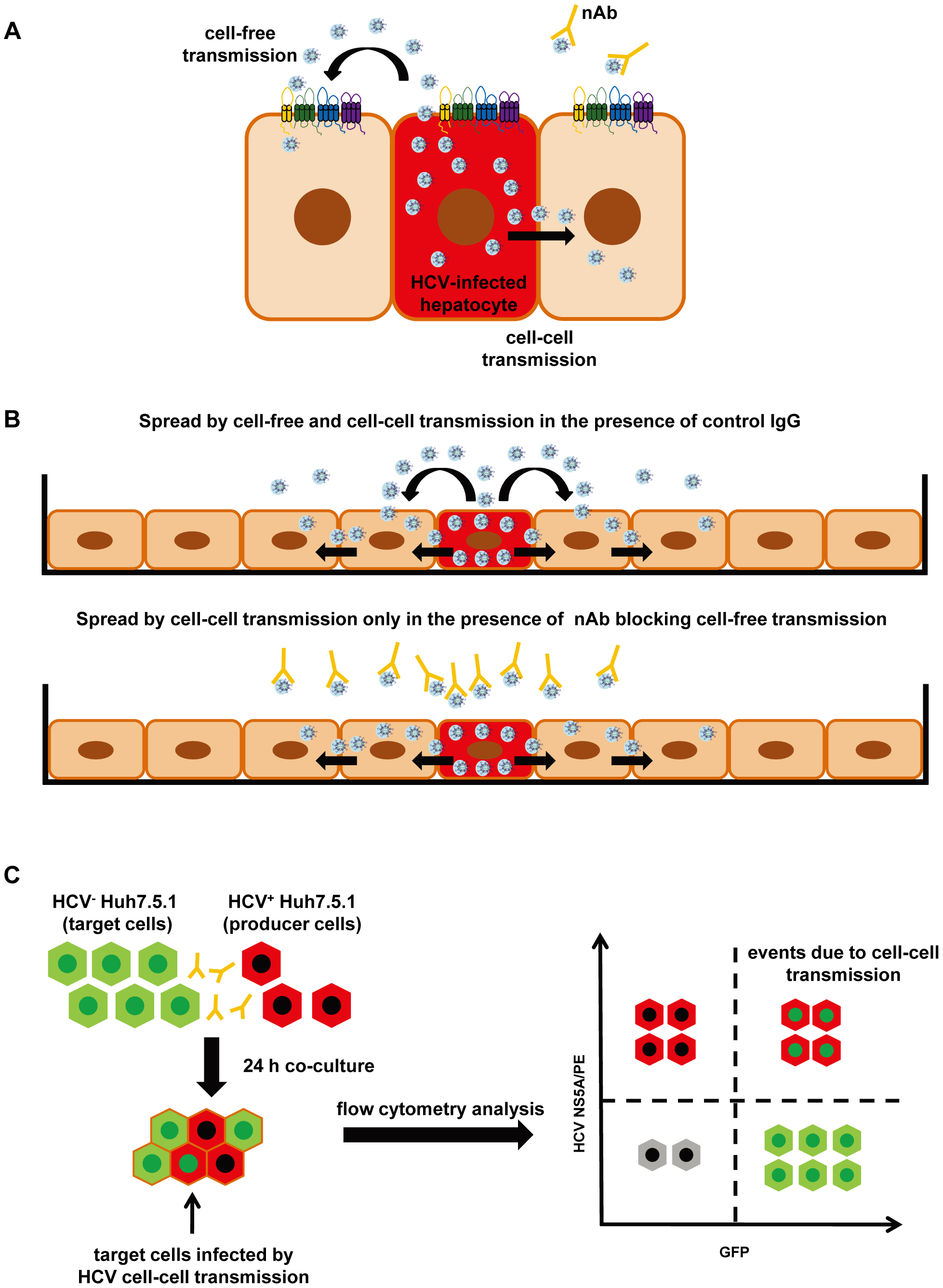 Cell culture model systems for analysis of HCV dissemination and cell-cell transmission.