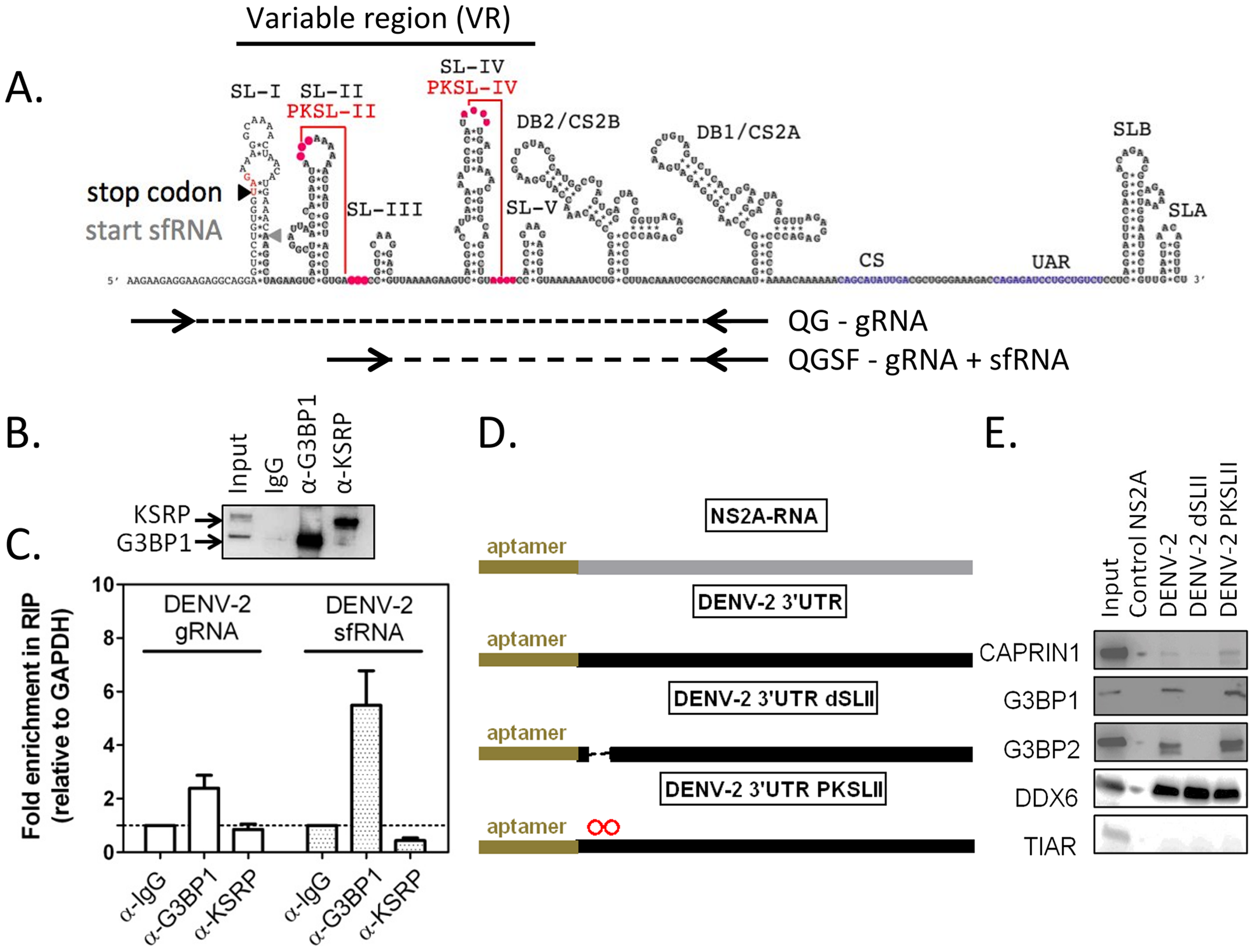 G3BP1, G3BP2 and CAPRIN1 interact with DENV-2 gRNA and sfRNA in infected cells.