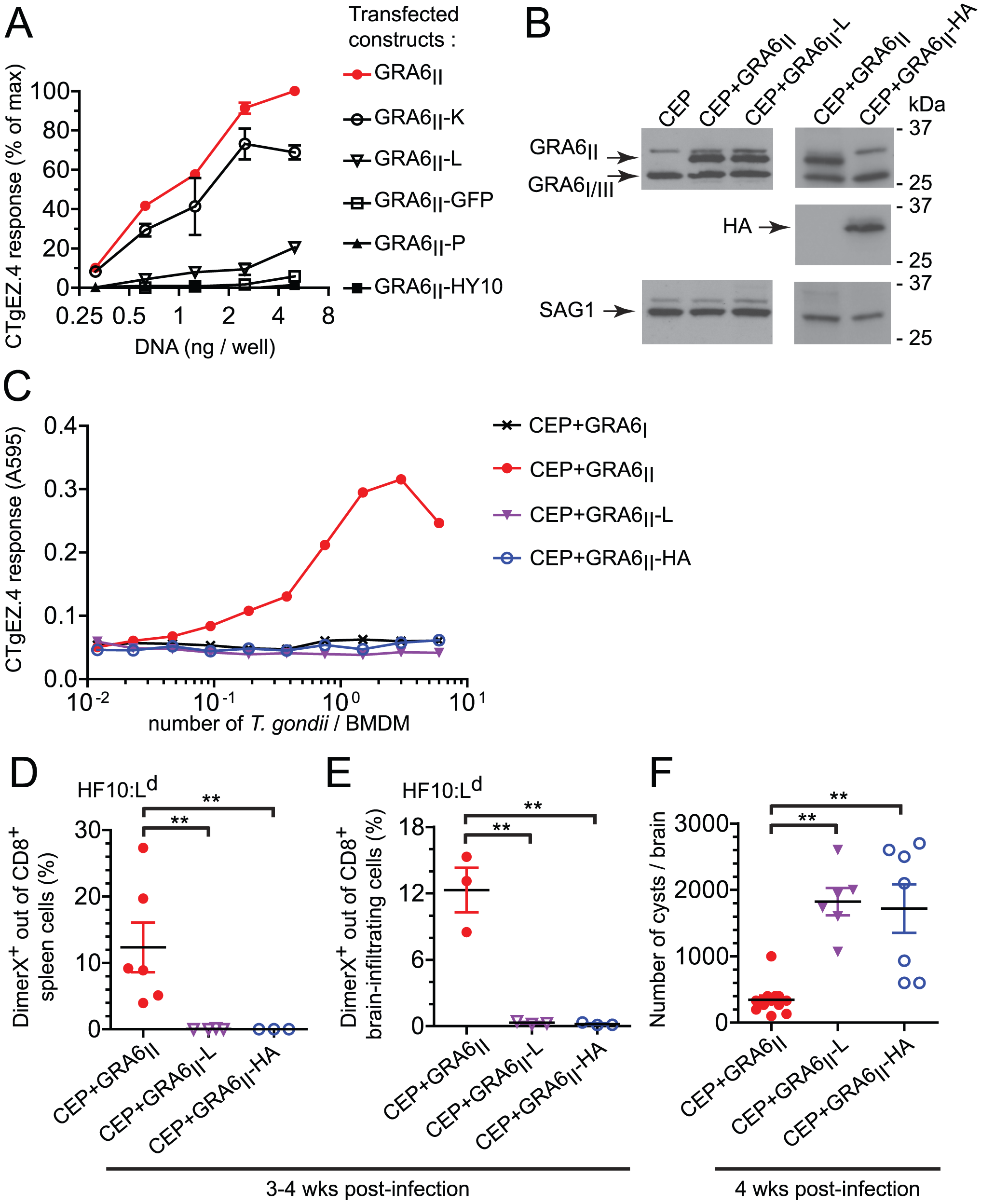 Optimal presentation and parasite control depend on the location of HF10 at the C-terminus of GRA6.