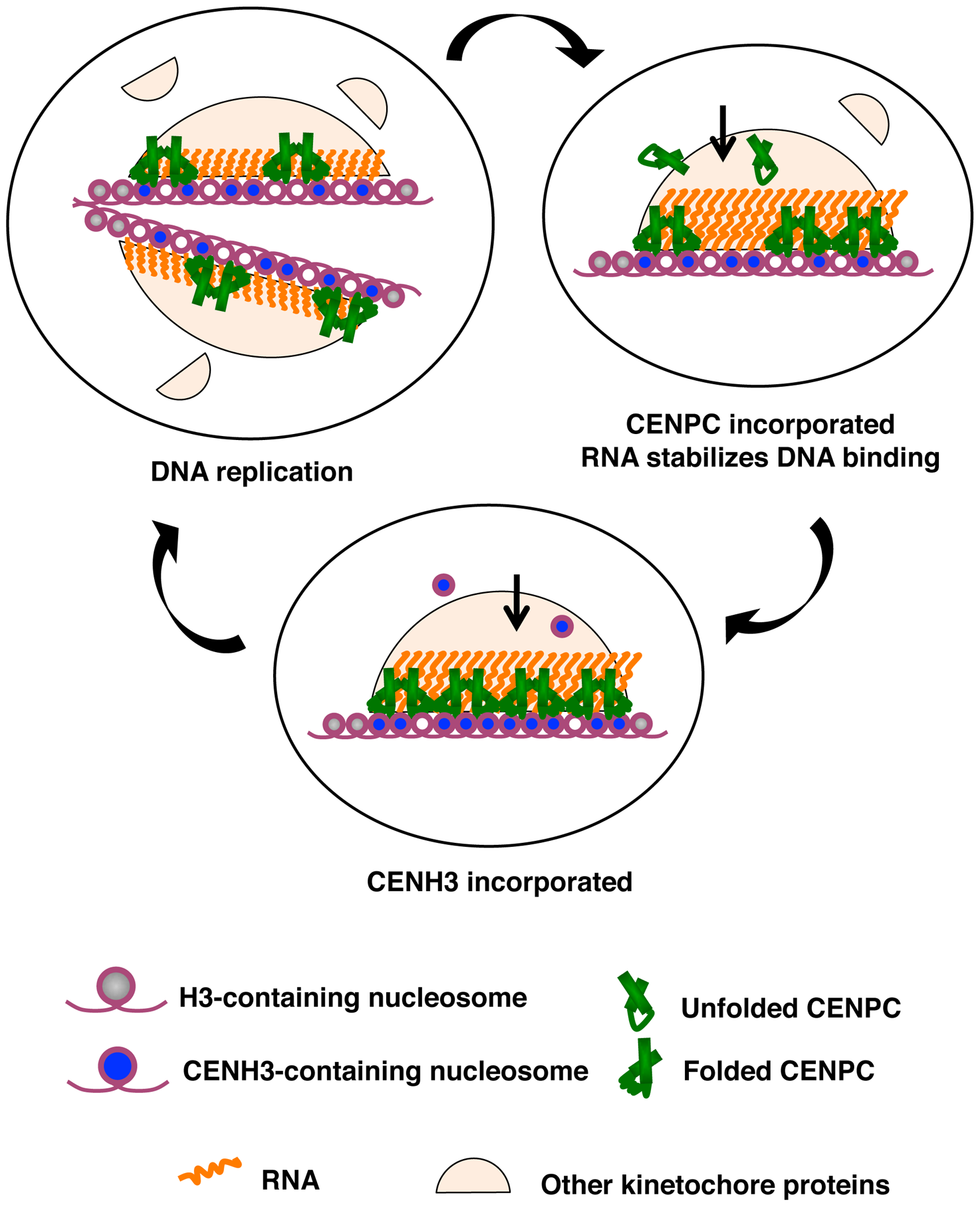 A model for how RNA facilitates the CENPC-DNA interaction.