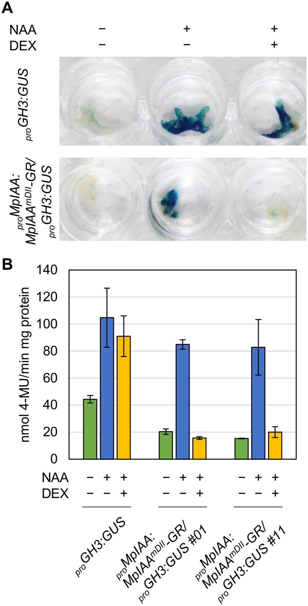 DEX-inducible system for repressing auxin responses.
