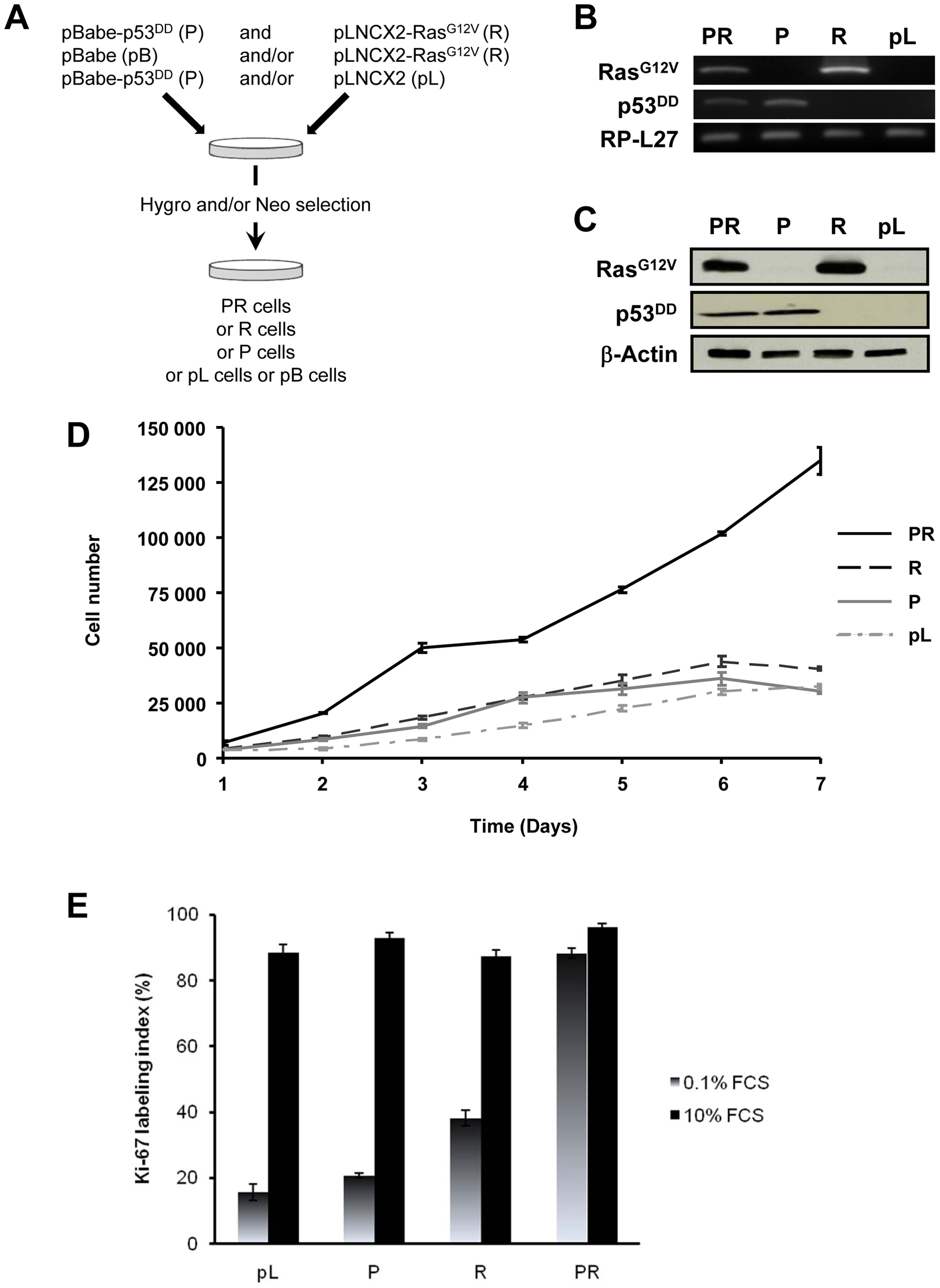 <i>In vitro</i> characterization of BAC cells transduced simultaneously with p53<sup>DD</sup> and Ras<sup>G12V</sup>.
