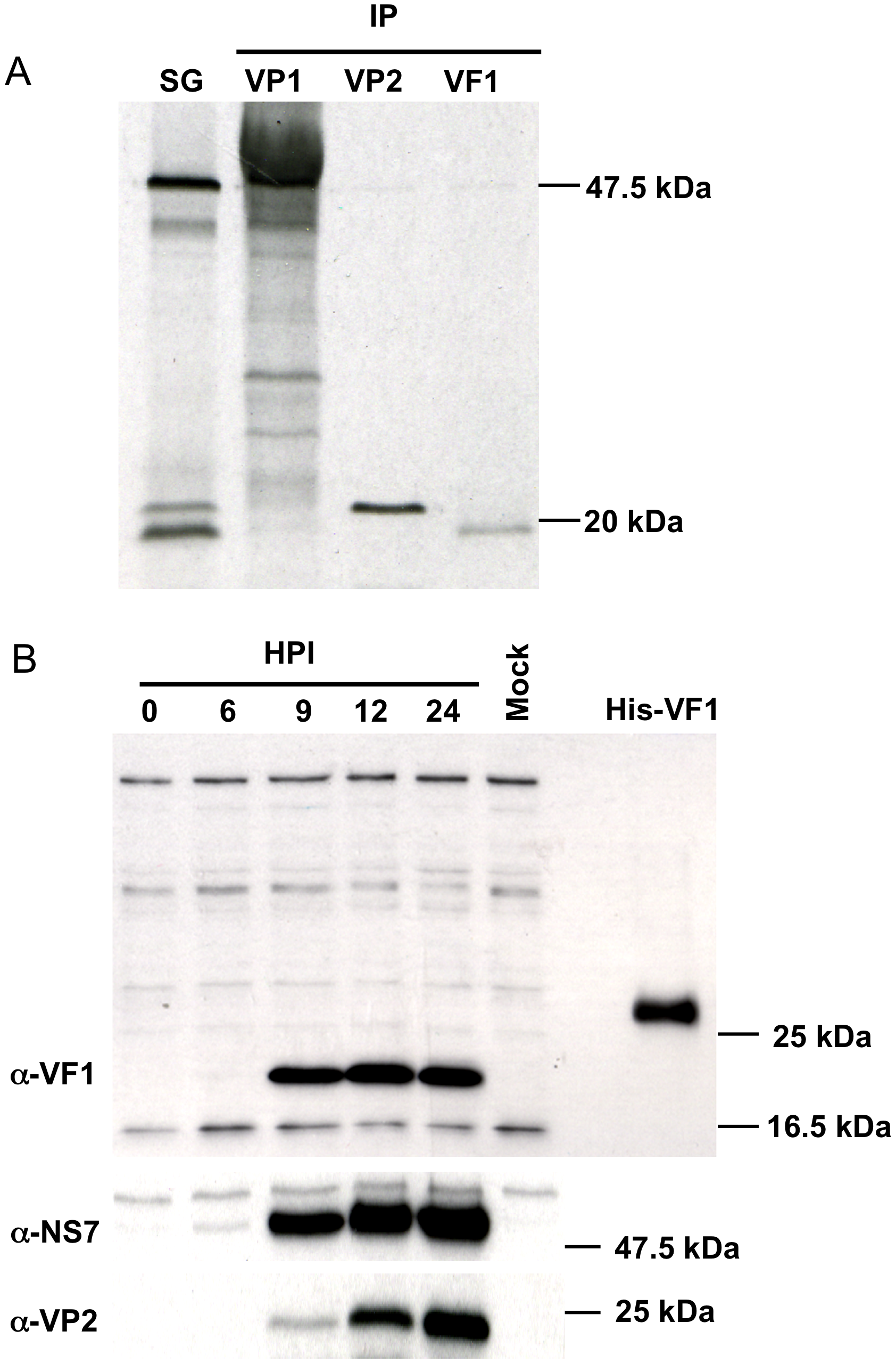 <i>In vitro</i> synthesis of the murine norovirus VF1 protein.