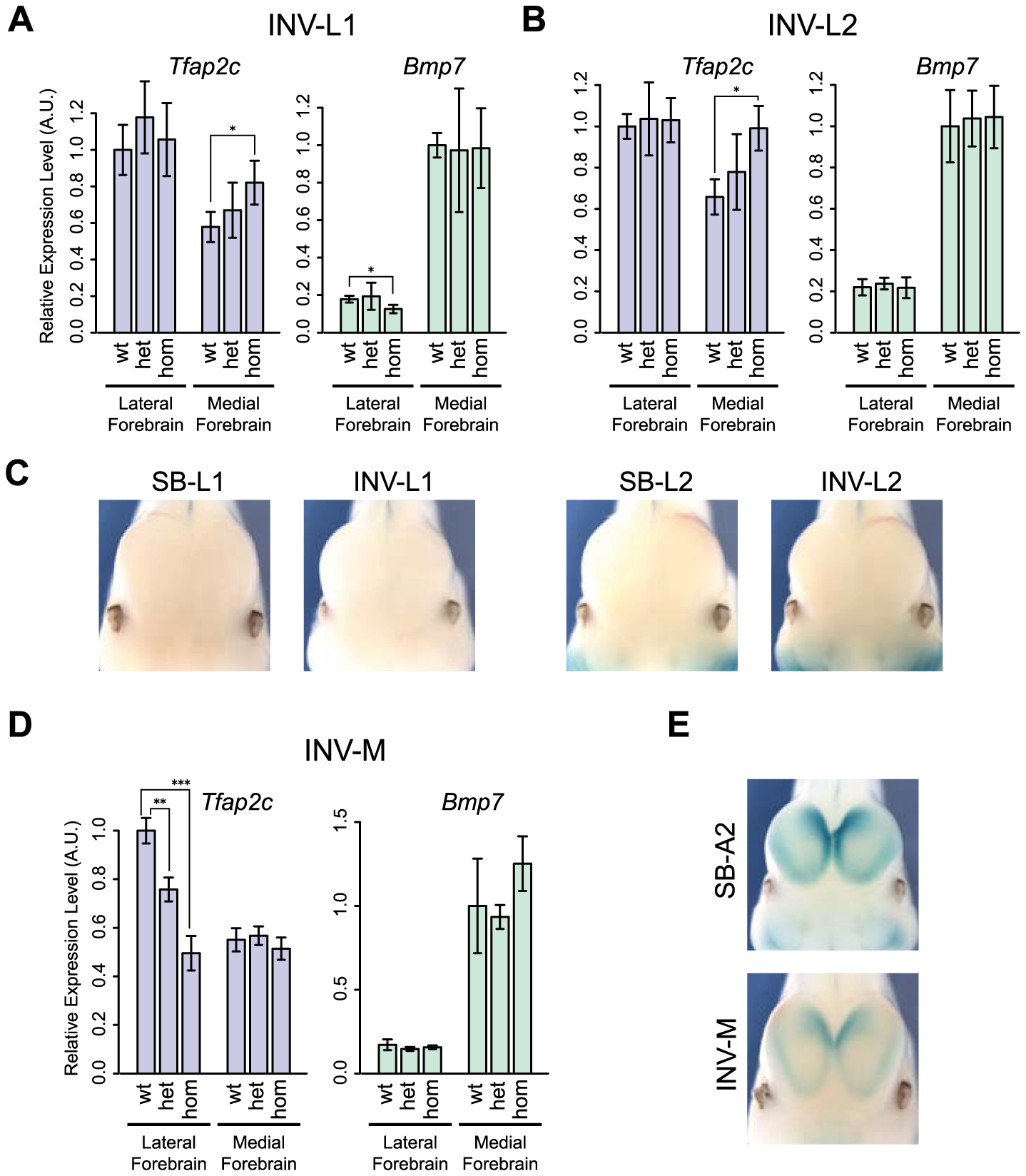 Changes of gene expression in the forebrain following genomic inversion.