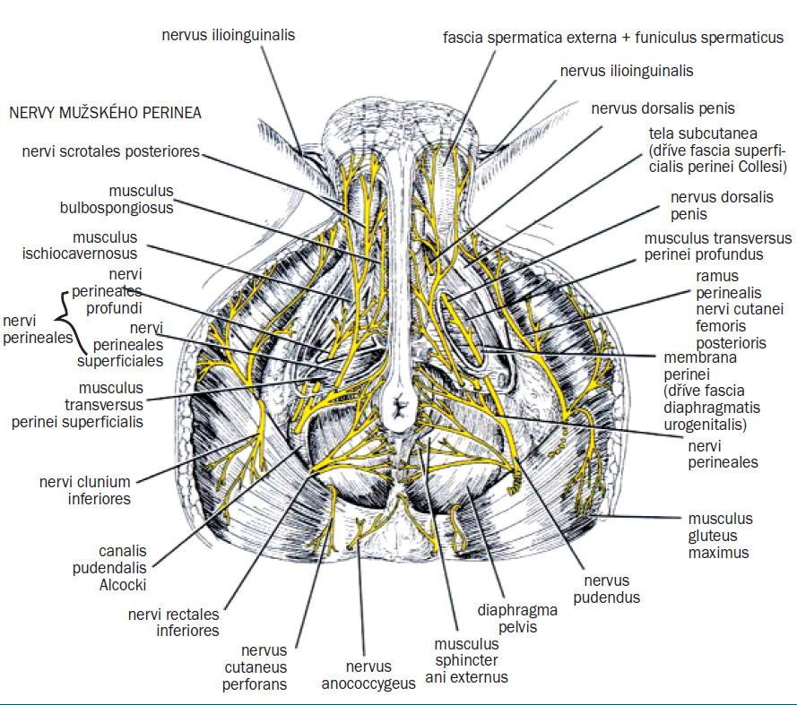 Průběh nervus pudendus v pánvi - transverzální pohled [47] .