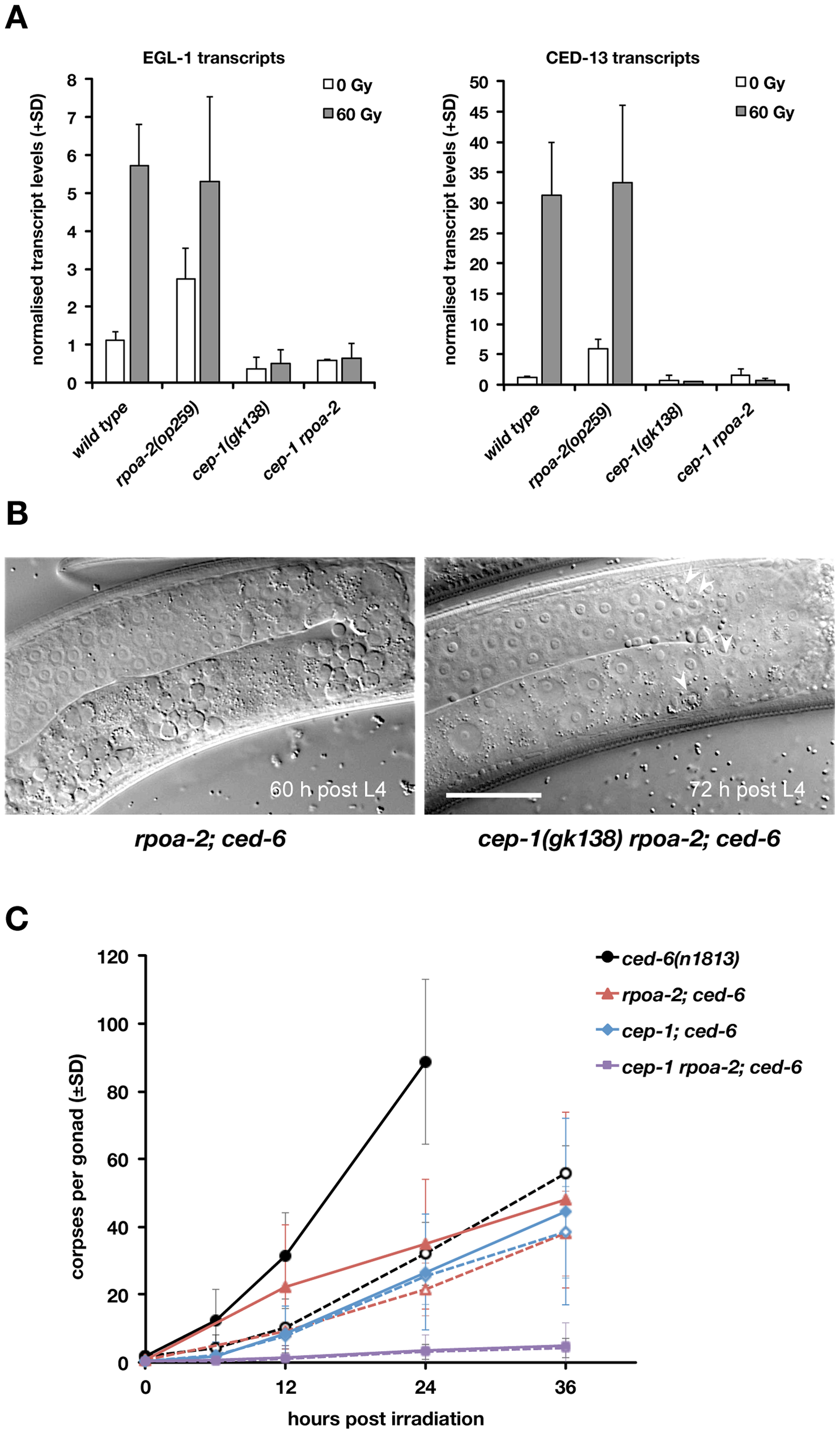 Basal apoptosis in <i>rpoa-2(op259)</i> mutant animals depends on CEP-1/p53.
