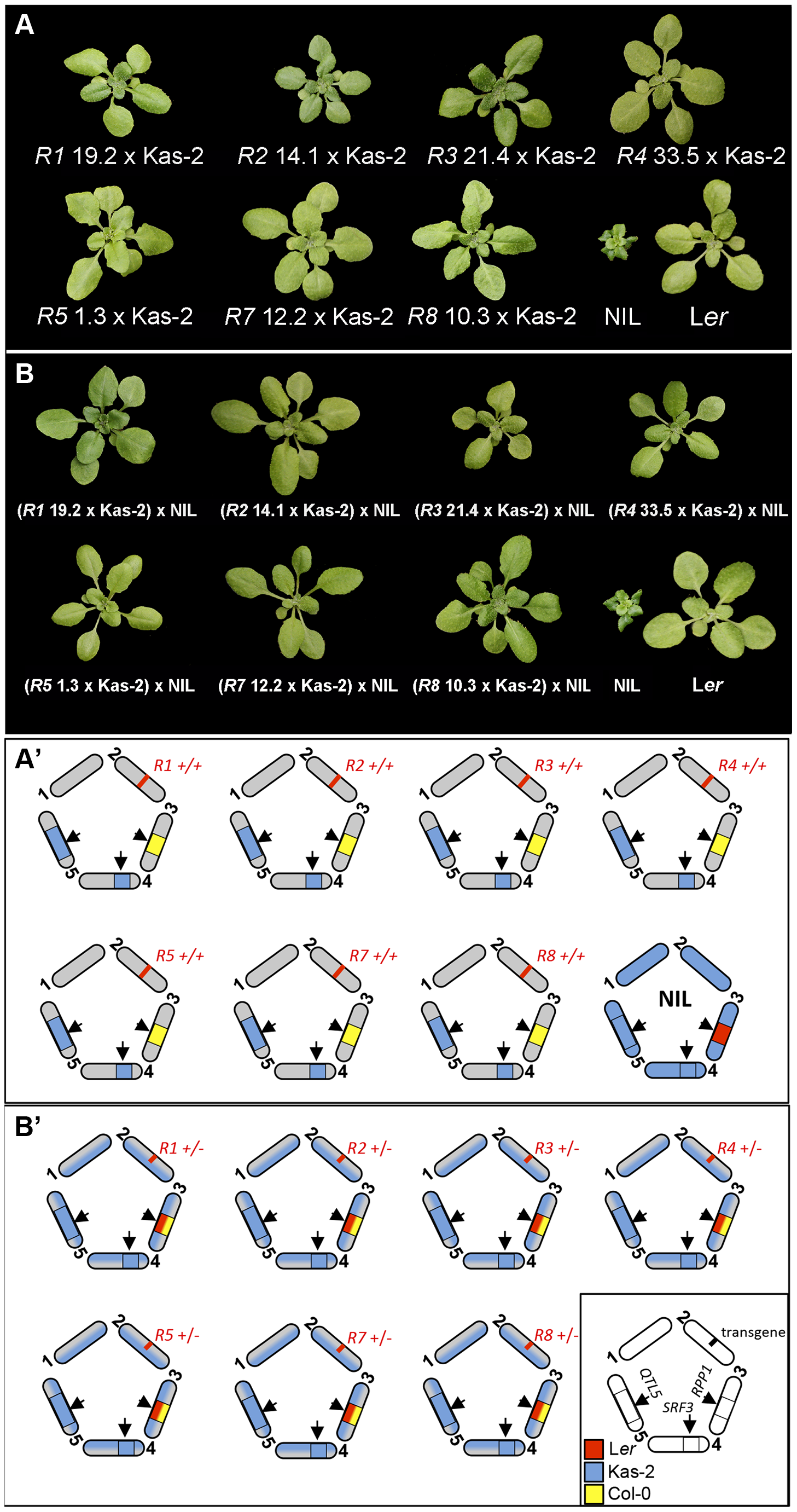 Growth phenotype at 14–16°C of Col<i><sup>RPP1</sup></i>/Kas-2 plants and <i>RPP1</i>-like L<i>er</i> hemizygous lines.