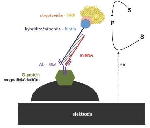 Elektrochemický přístup kombinující magnetické kuličky s G-proteinem, speciální protilátku (Ab S9.6) vázající duplex miRNA a DNA sondy, a detekci enzymatické reakce na uhlíkové elektrodě. Modifikované magnetické kuličky byly k elektrodě přitáhnuty magnetem. Jako substrát byla použita dvojice HQ/peroxid vodíku. Křenová peroxidáza oxidovala HQ na benzochinon, který byl zpětně redukován na elektrodě.