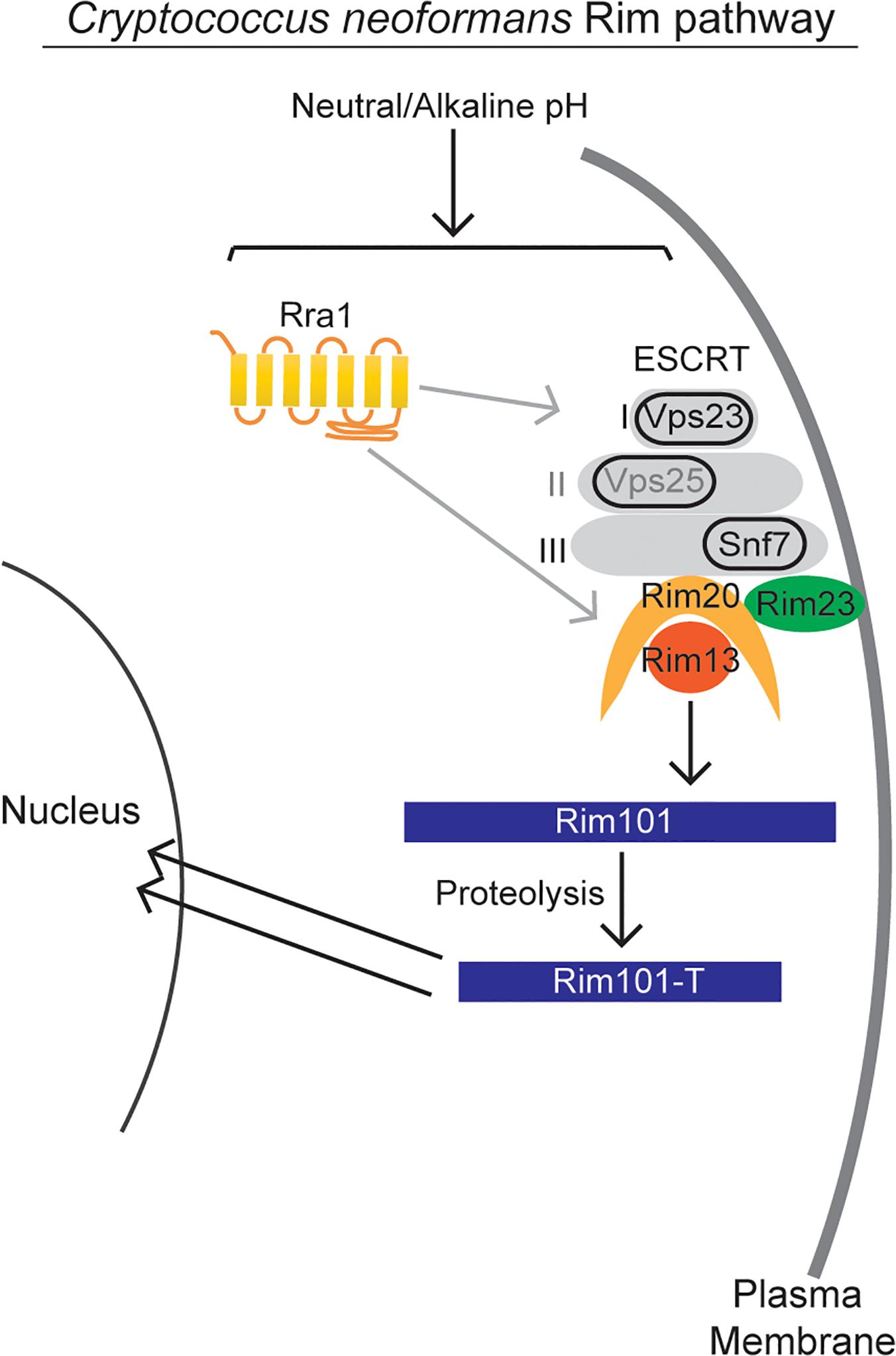 Model of <i>C</i>. <i>neoformans</i> Rim pathway.