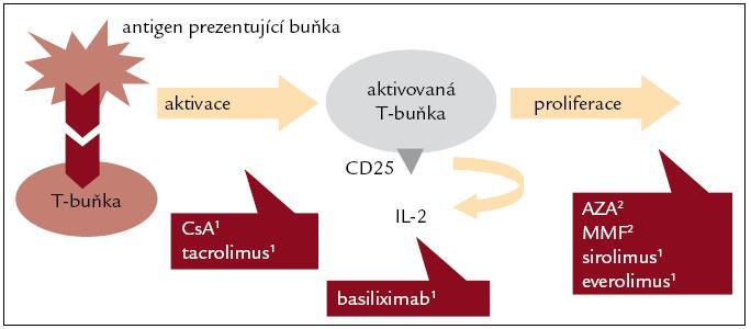 Mechanizmus akce I. Podle [1,2].