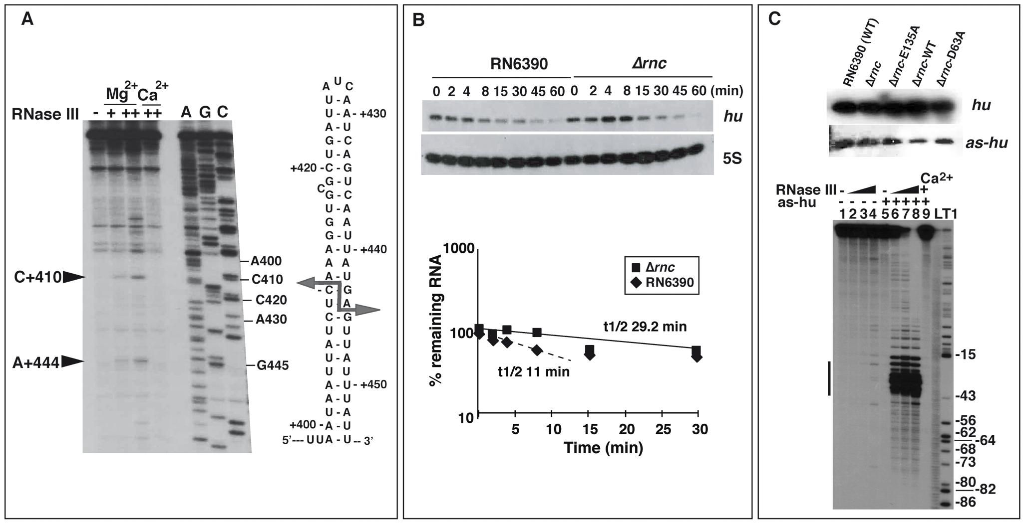 Effect of RNase III on mRNA turnover.