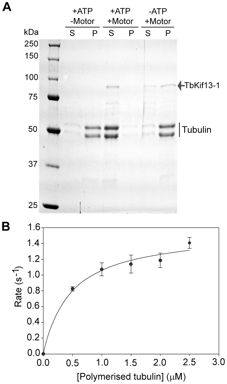 <i>In vitro</i> biochemical analysis of recombinant TbKif13-1.