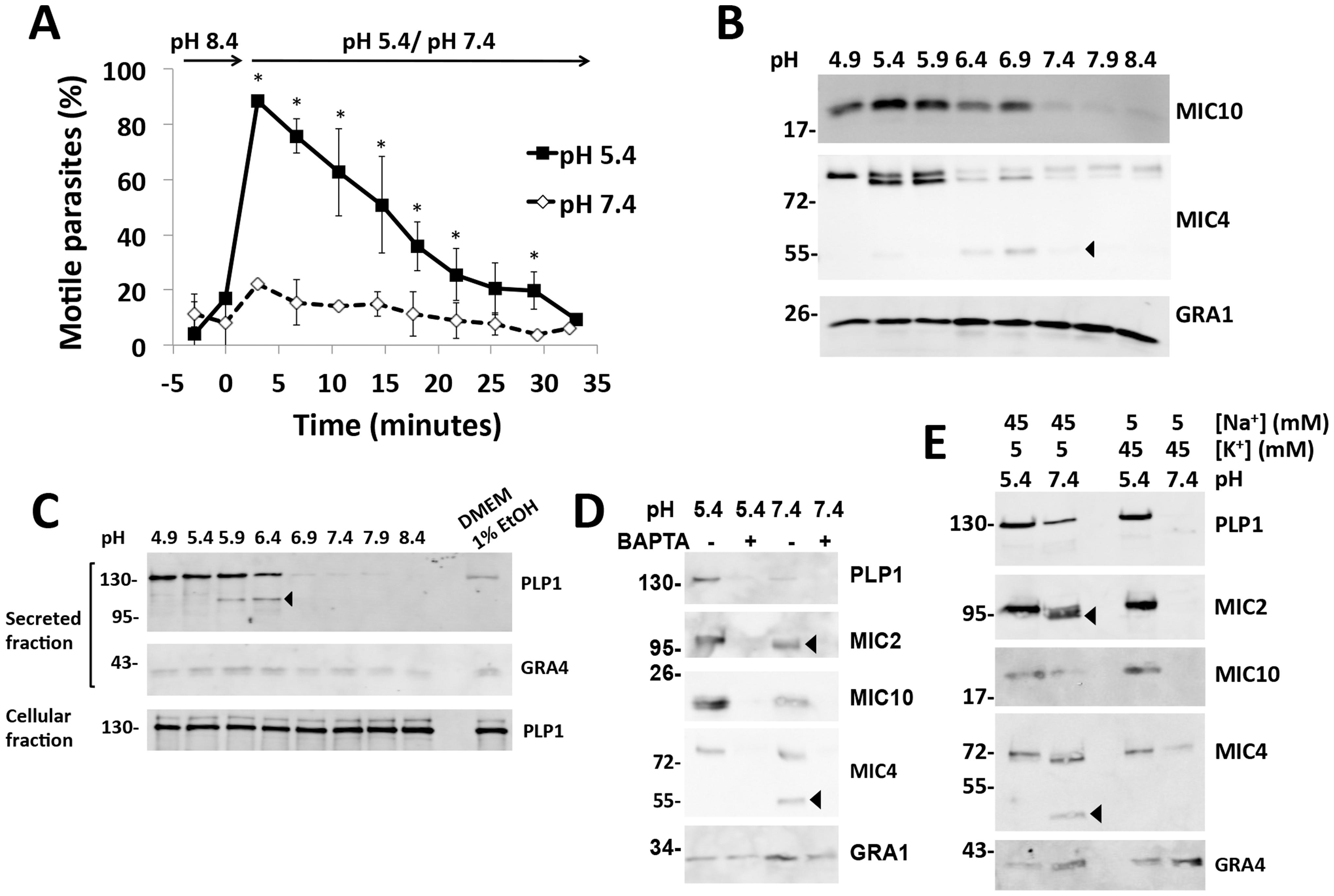 Low pH promotes parasite motility and microneme secretion.