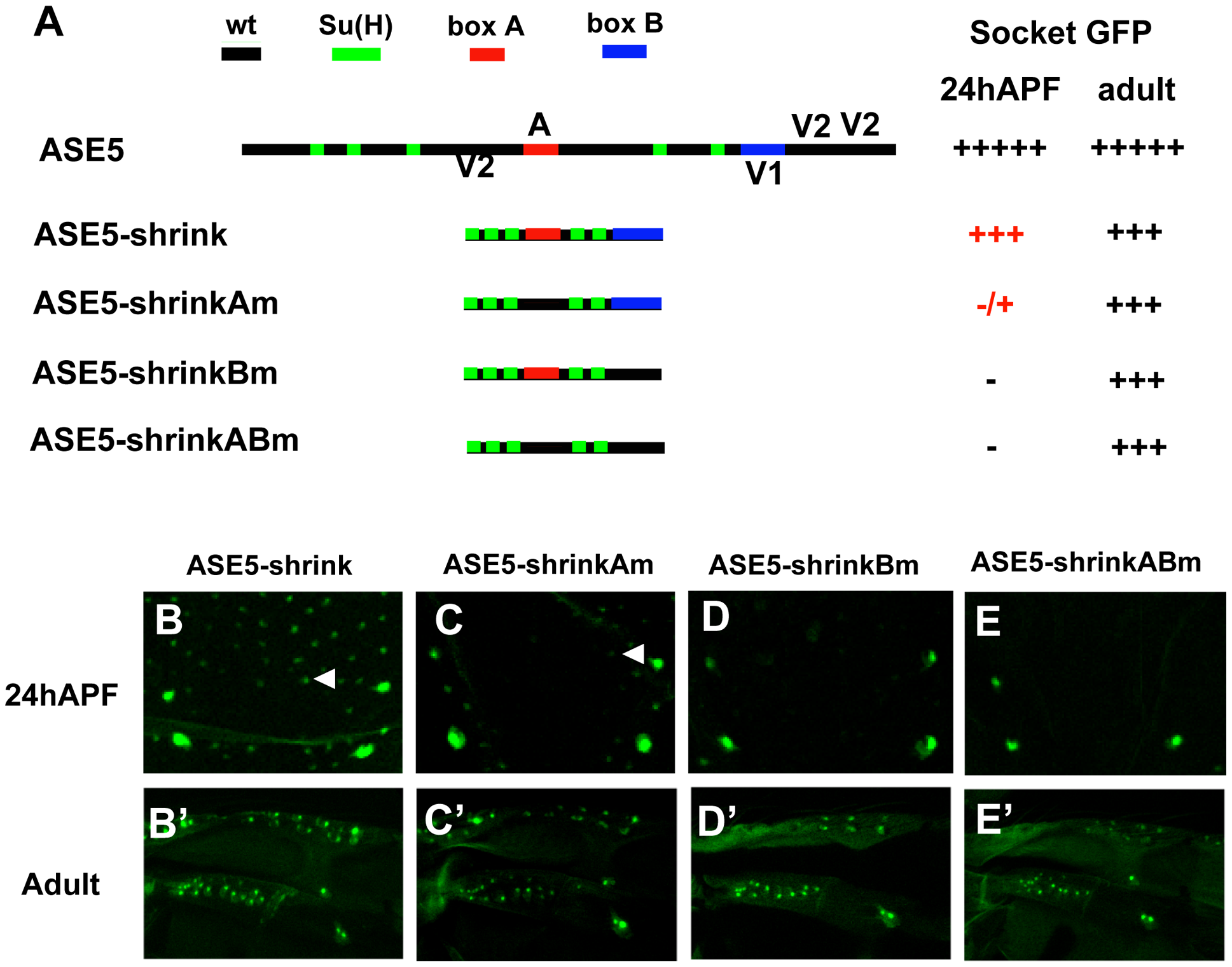 More compact positioning of required motifs in ASE5 increases their activity.