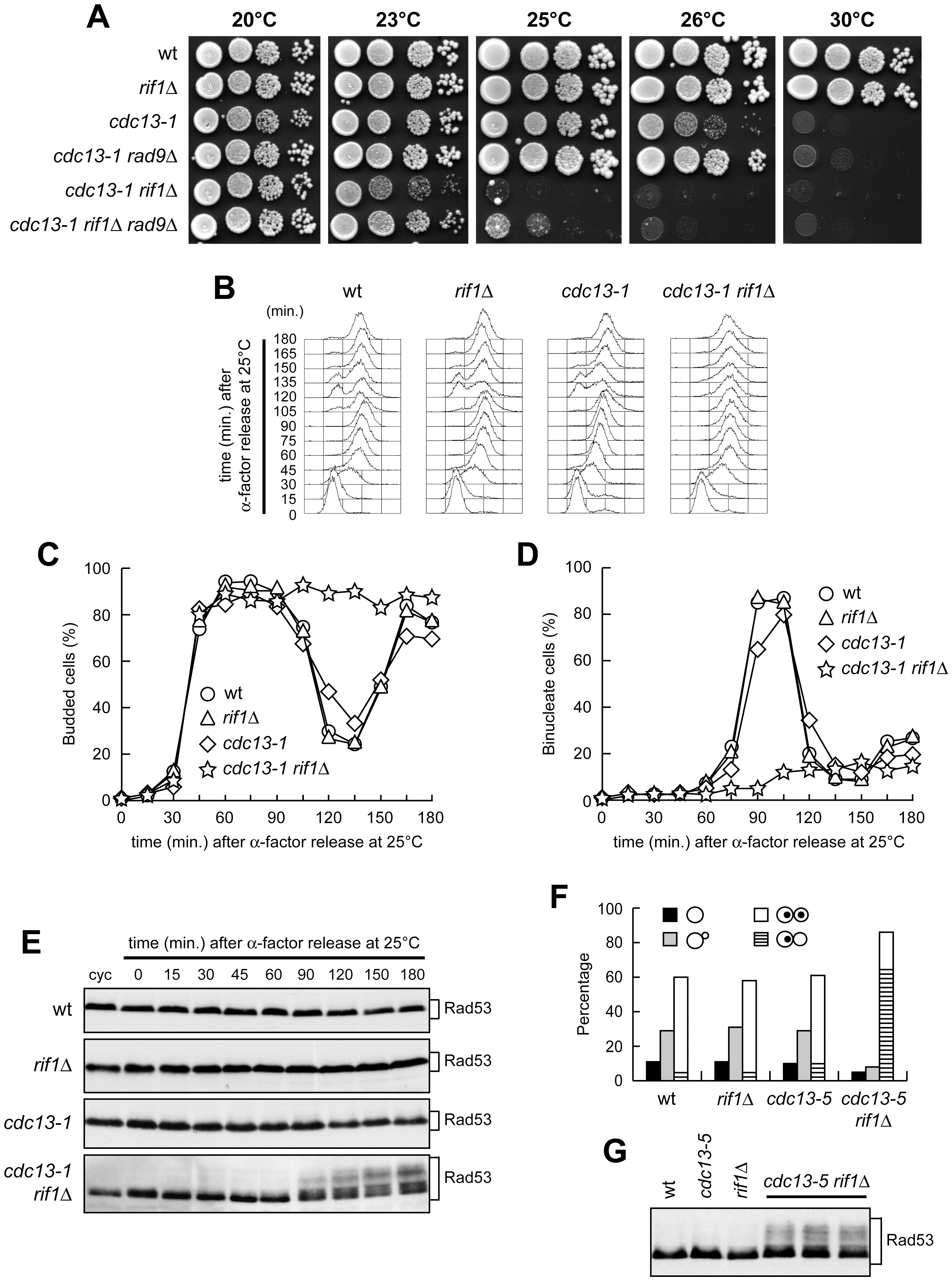 Metaphase arrest and checkpoint activation in <i>cdc13 rif1</i>Δ cells.
