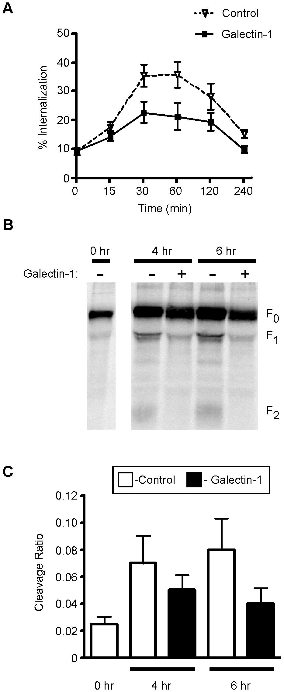 Galectin-1 inhibits NiV-F<sub>0</sub> endocytosis and maturation.