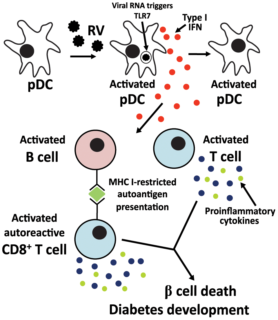 Proposed mechanism for the contribution of rotavirus-induced bystander lymphocyte activation to exacerbation of diabetes-related autoimmunity.