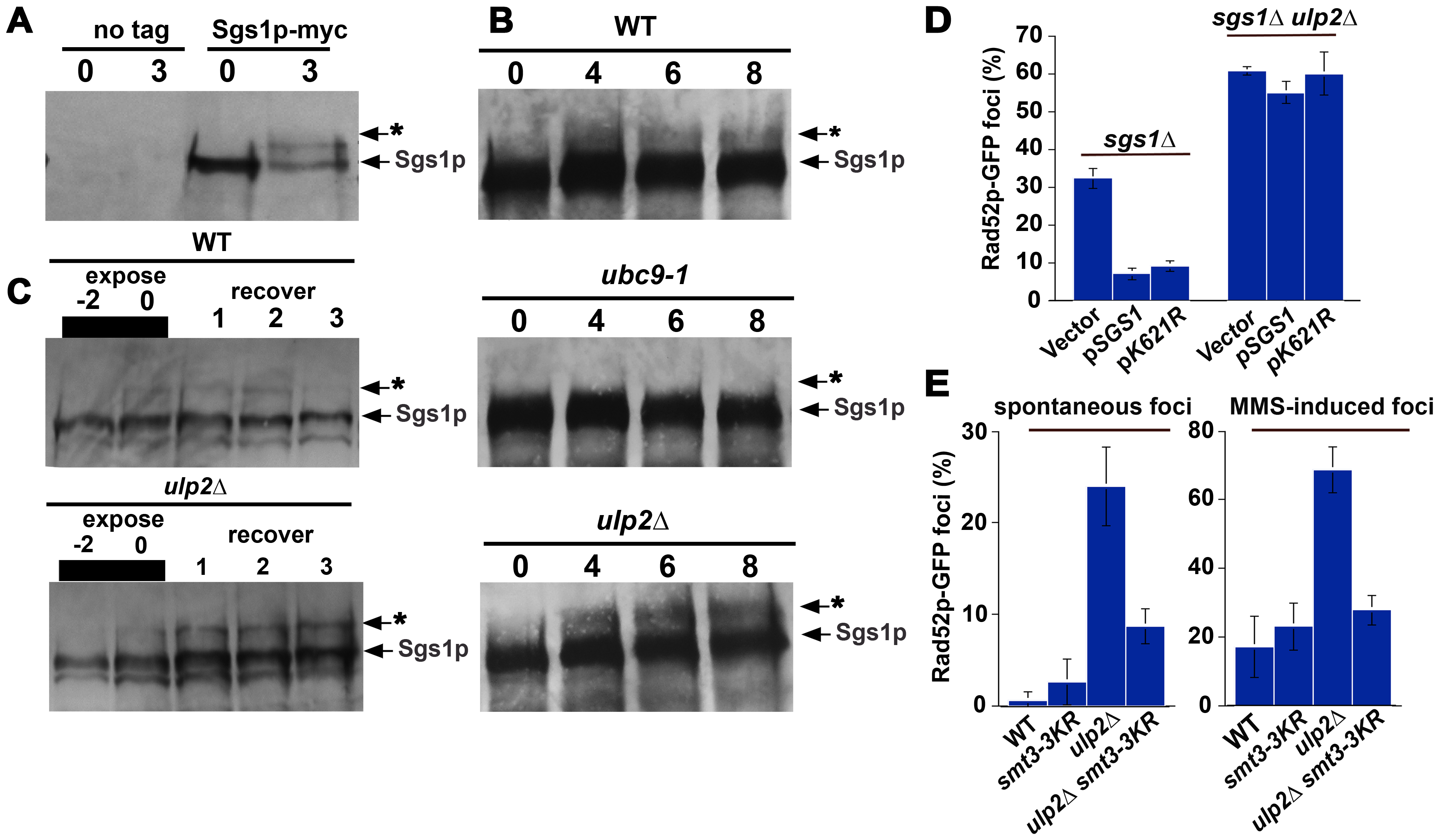 Sgs1p sumoylation in <i>ulp2</i>Δ <b>mutants.</b>