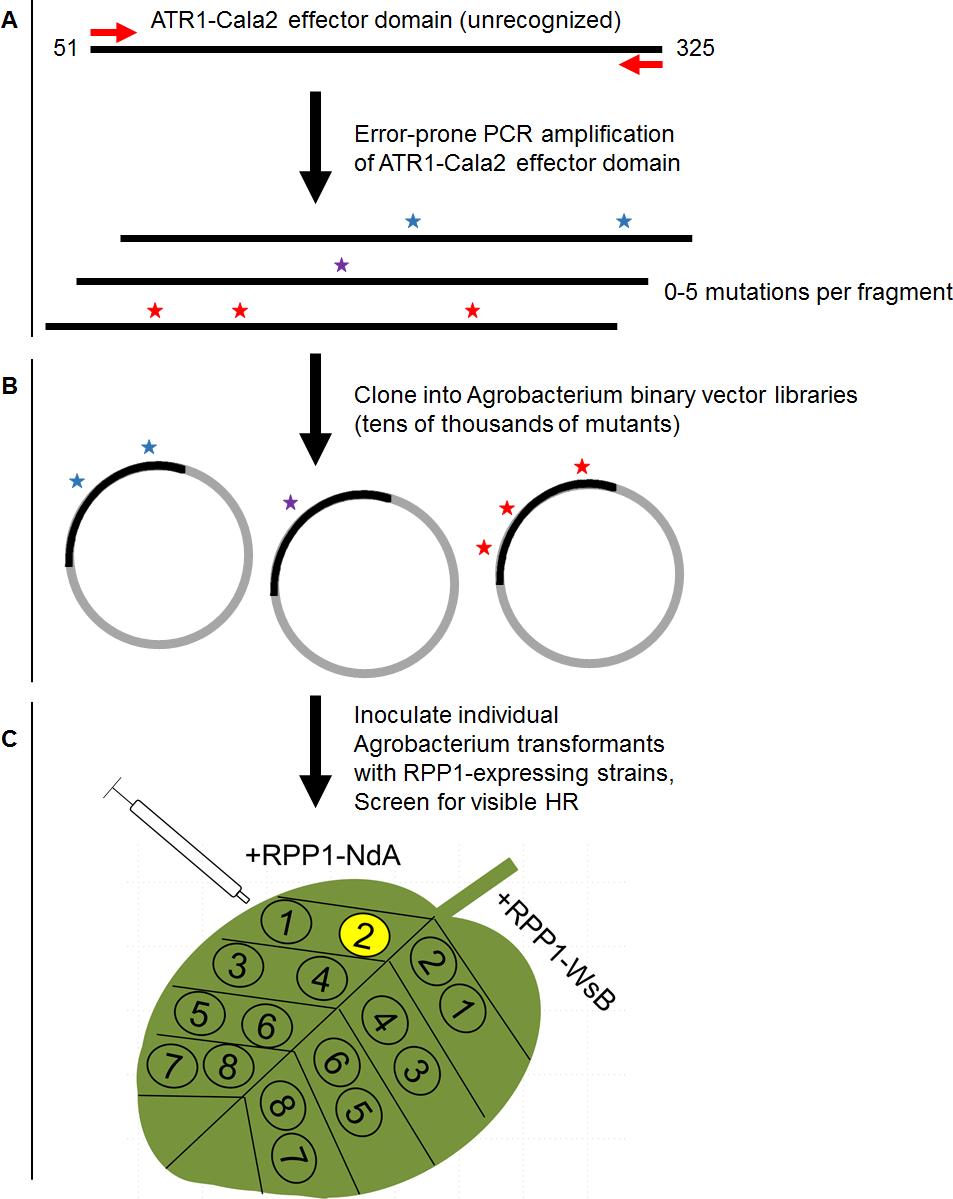 Overview of random mutagenesis screening process for gain-of-function ATR1-Cala2 mutations.