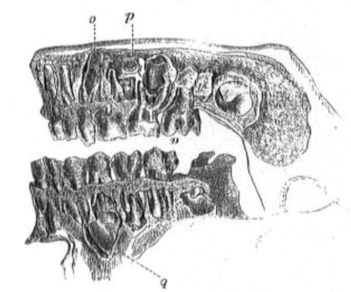 Obrázek z Nesselovy knihy Dočasné i trvalé zuby v dětské čelisti.