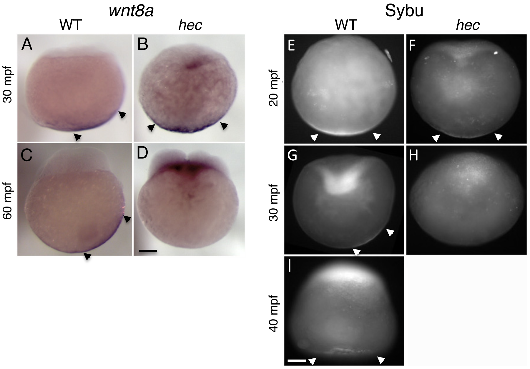 Defects in the vegetal localization of <i>wnt8a</i> mRNA and Sybu protein.